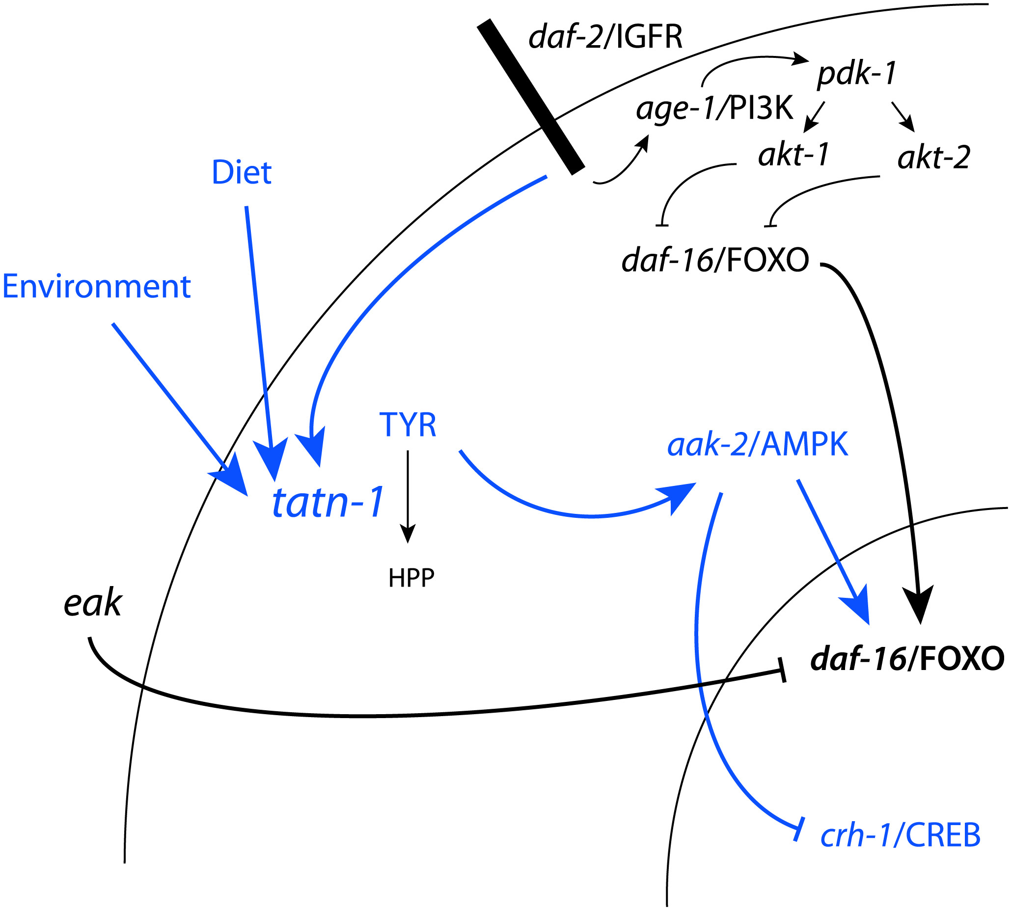 Model for the regulation of TATN-1 expression, tyrosine levels, and the resulting effects of tyrosine effects on cell signaling pathways.