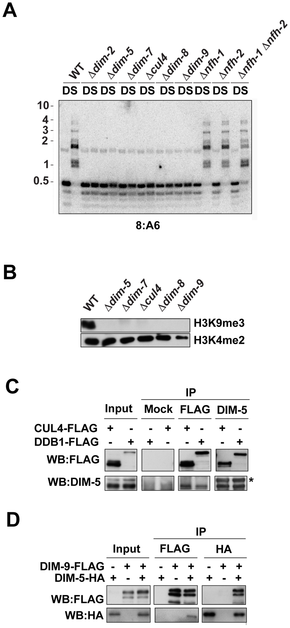 DIM-5 interacts with CUL4, DDB1, and DIM-9.