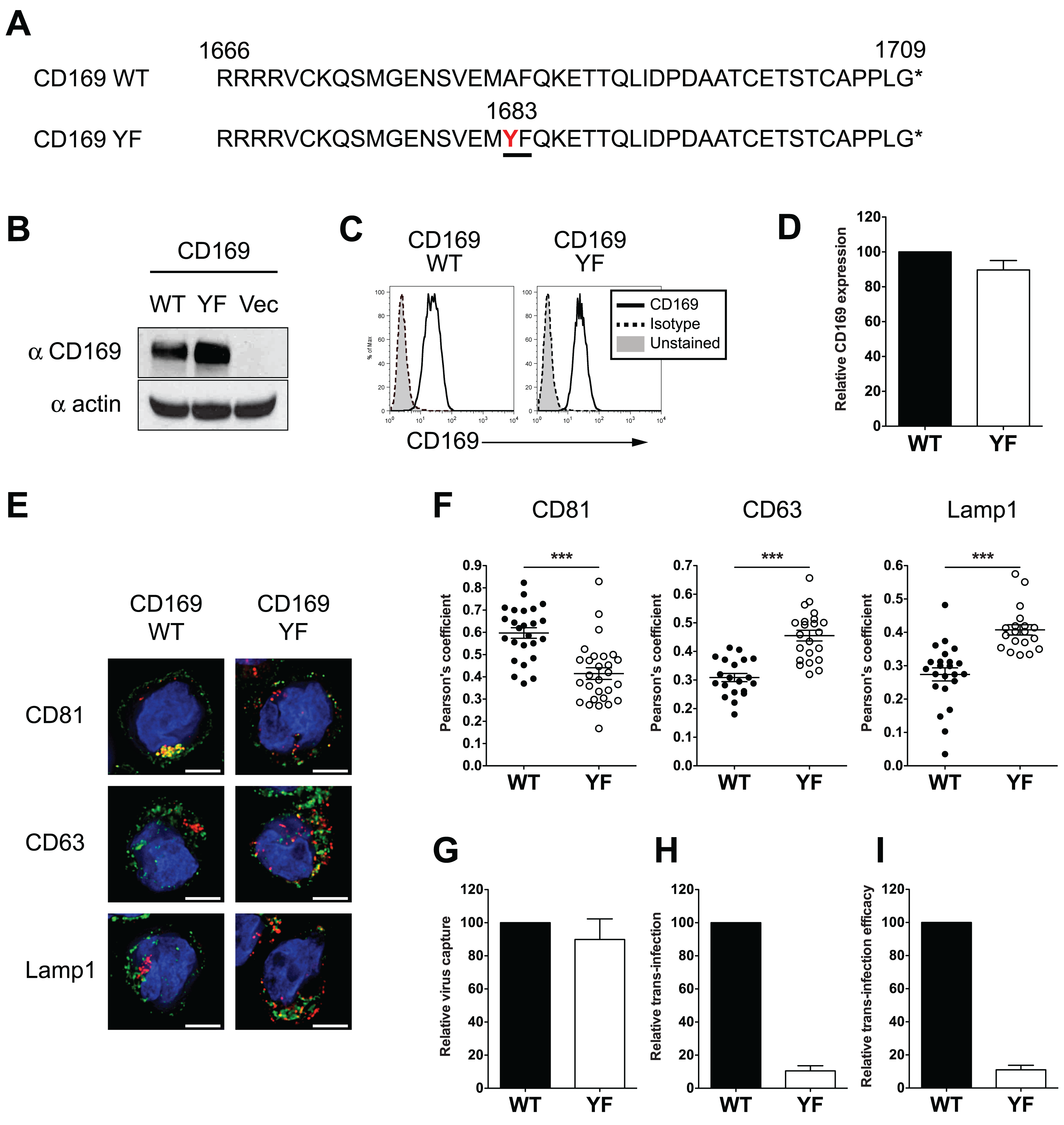Introduction of a di-aromatic motif in CT of CD169 results in endocytosis of HIV-1 particles and attenuation of CD169-mediated trans-infection.