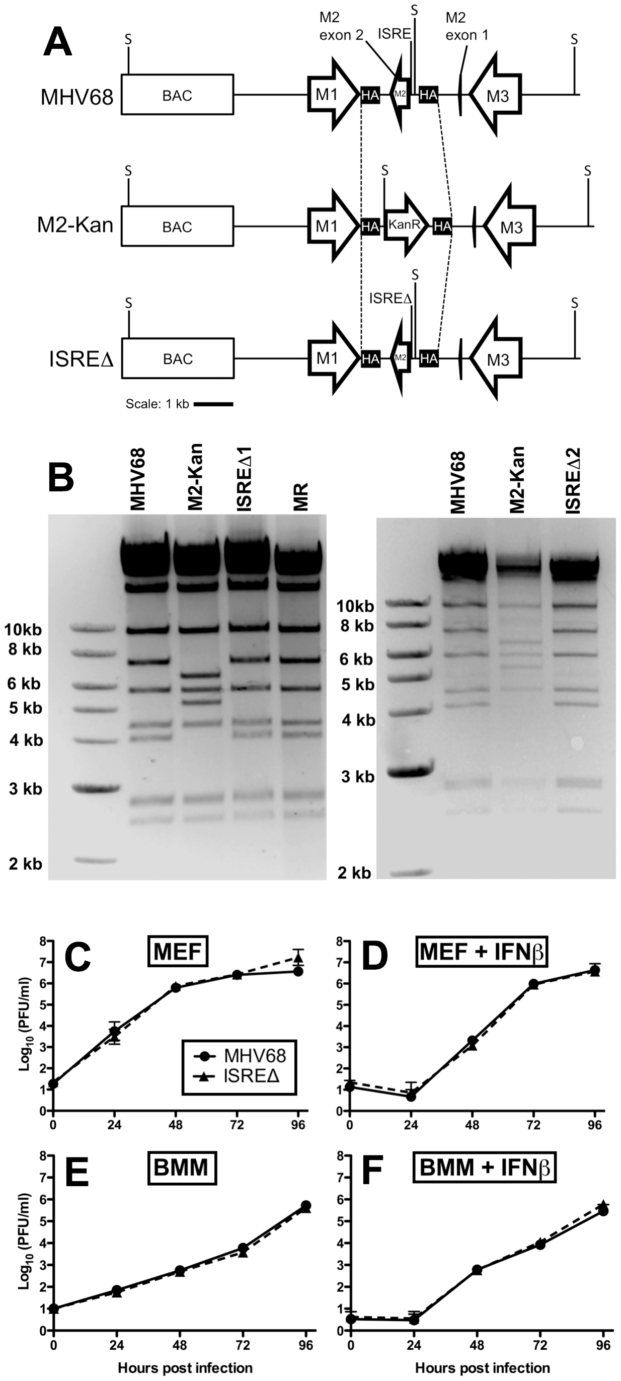 Generation and characterization of MHV68 lacking the M2 ISRE (ISREΔ).