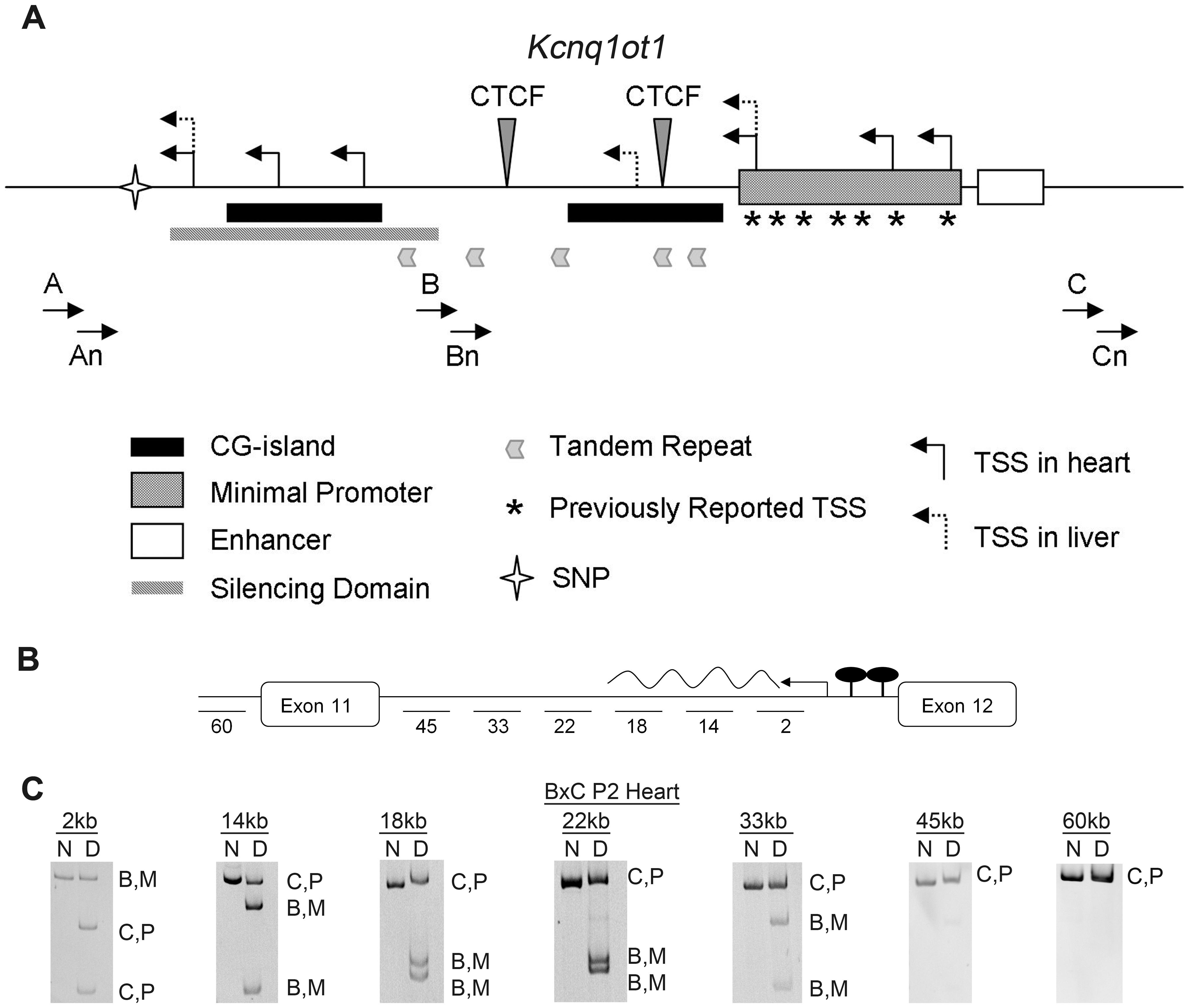 Characterization of the maternal <i>Kcnq1ot1</i> transcript.