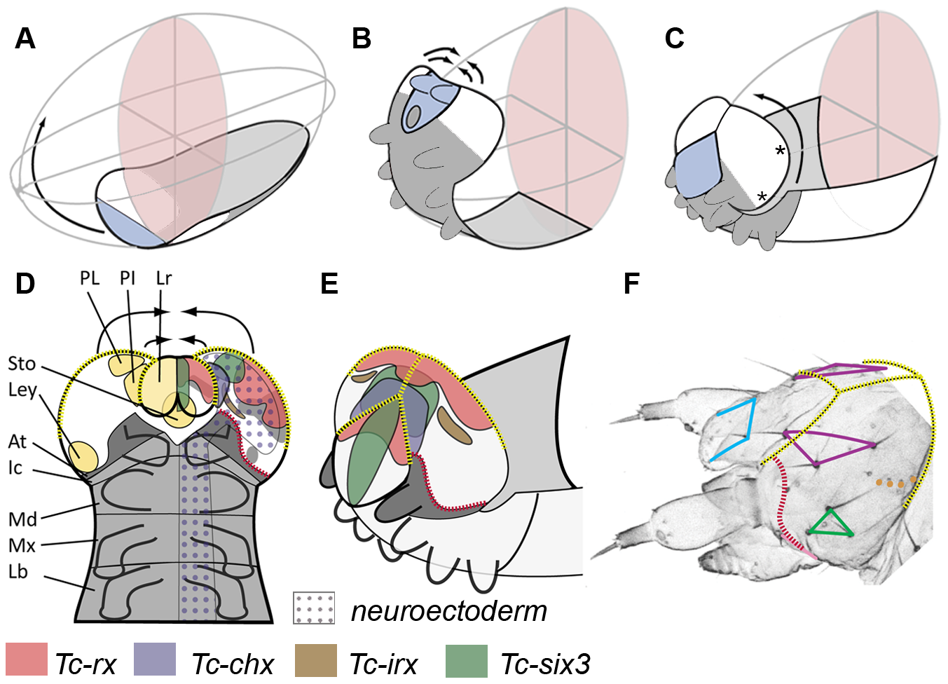 Fate map and morphogenesis of the head.