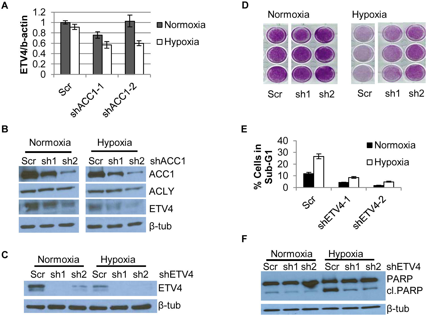 Depletion of ETV4 protects cells from hypoxia-induced apoptosis.