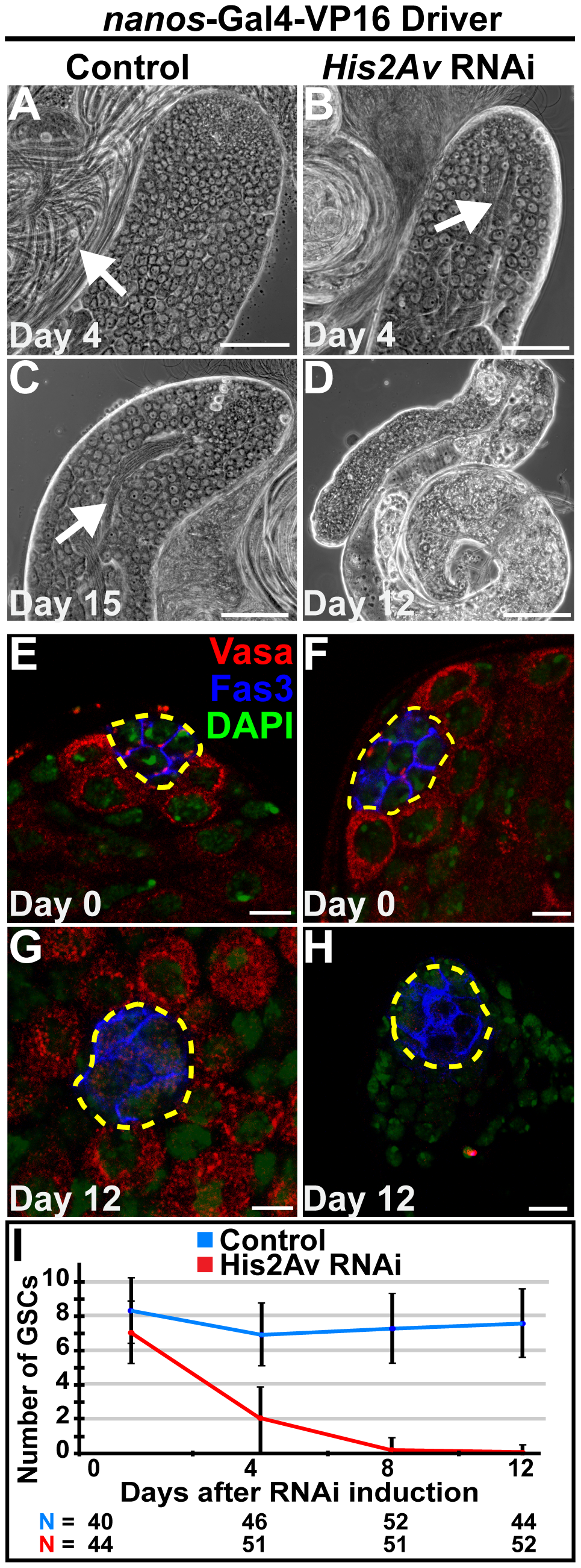 RNAi knockdown of His2Av function in early germ cells results in GSC loss.