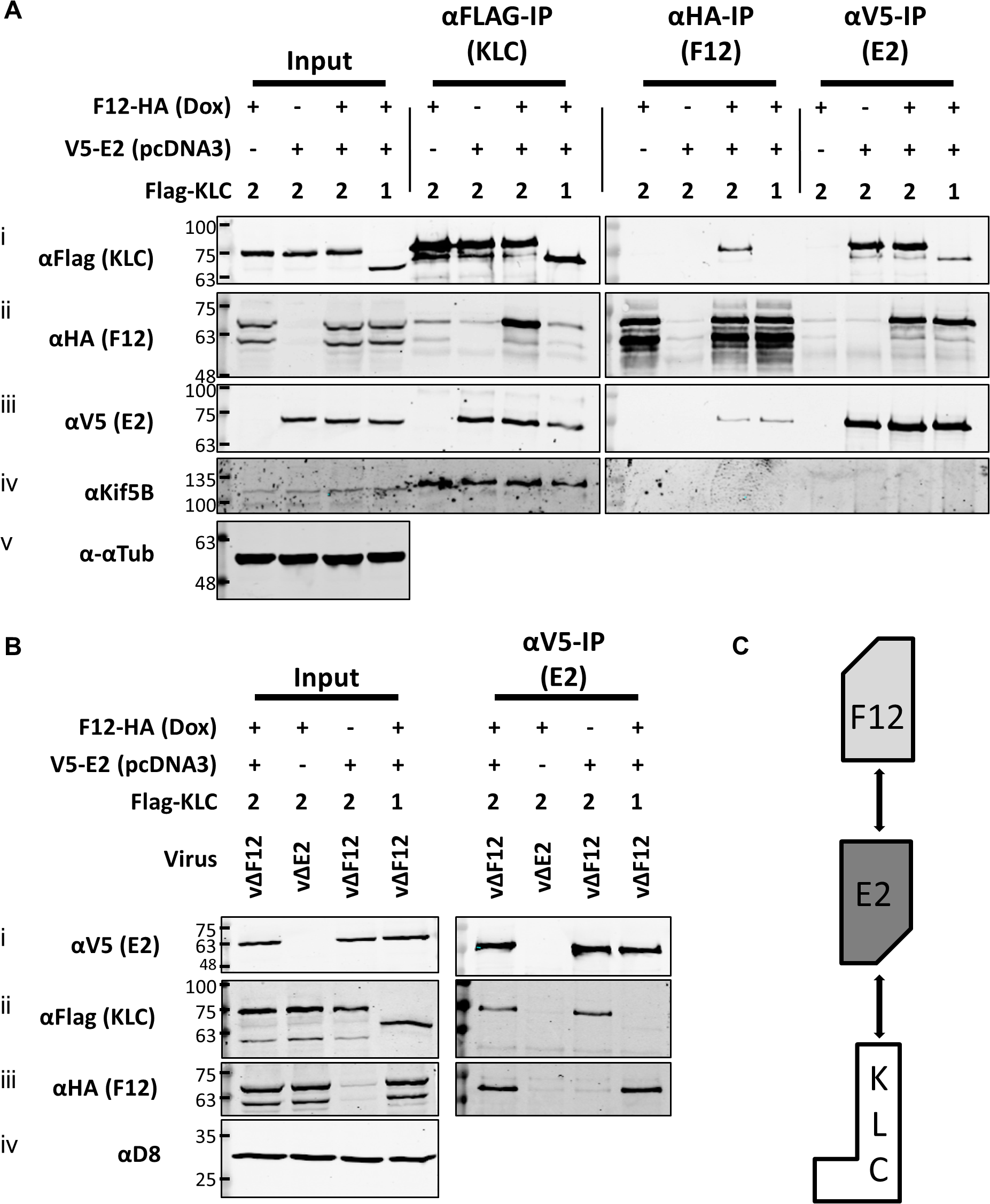 E2 interacts with KLC2 and is necessary and sufficient to mediate F12 interaction with KLC2.