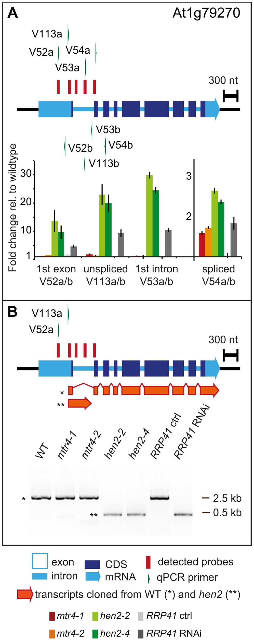 <i>hen2</i> mutants accumulate incompletely spliced transcripts.