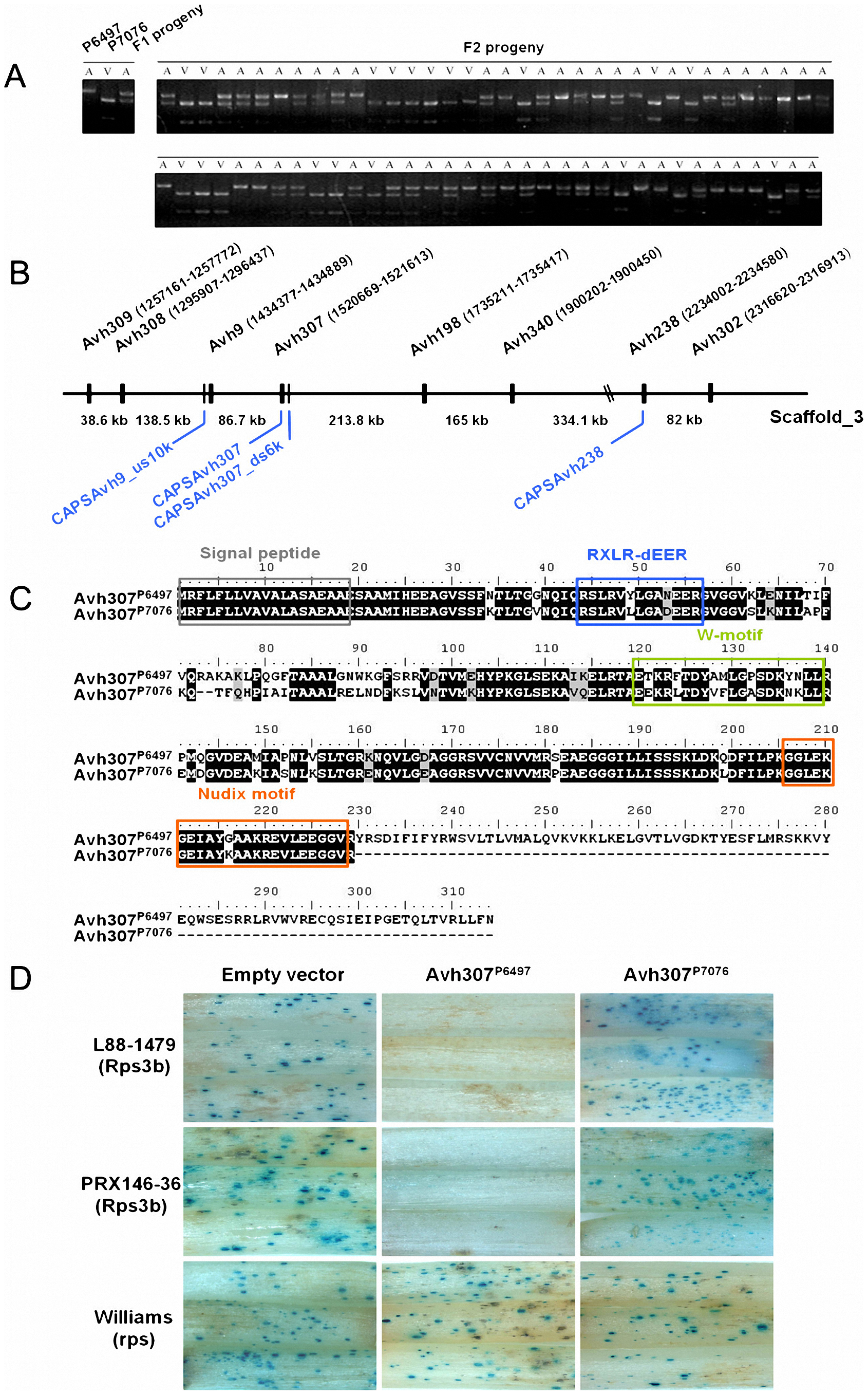 <i>Avh</i>307 corresponds to <i>Avr3b</i> based on genetic mapping, sequence polymorphisms, and bioassays.