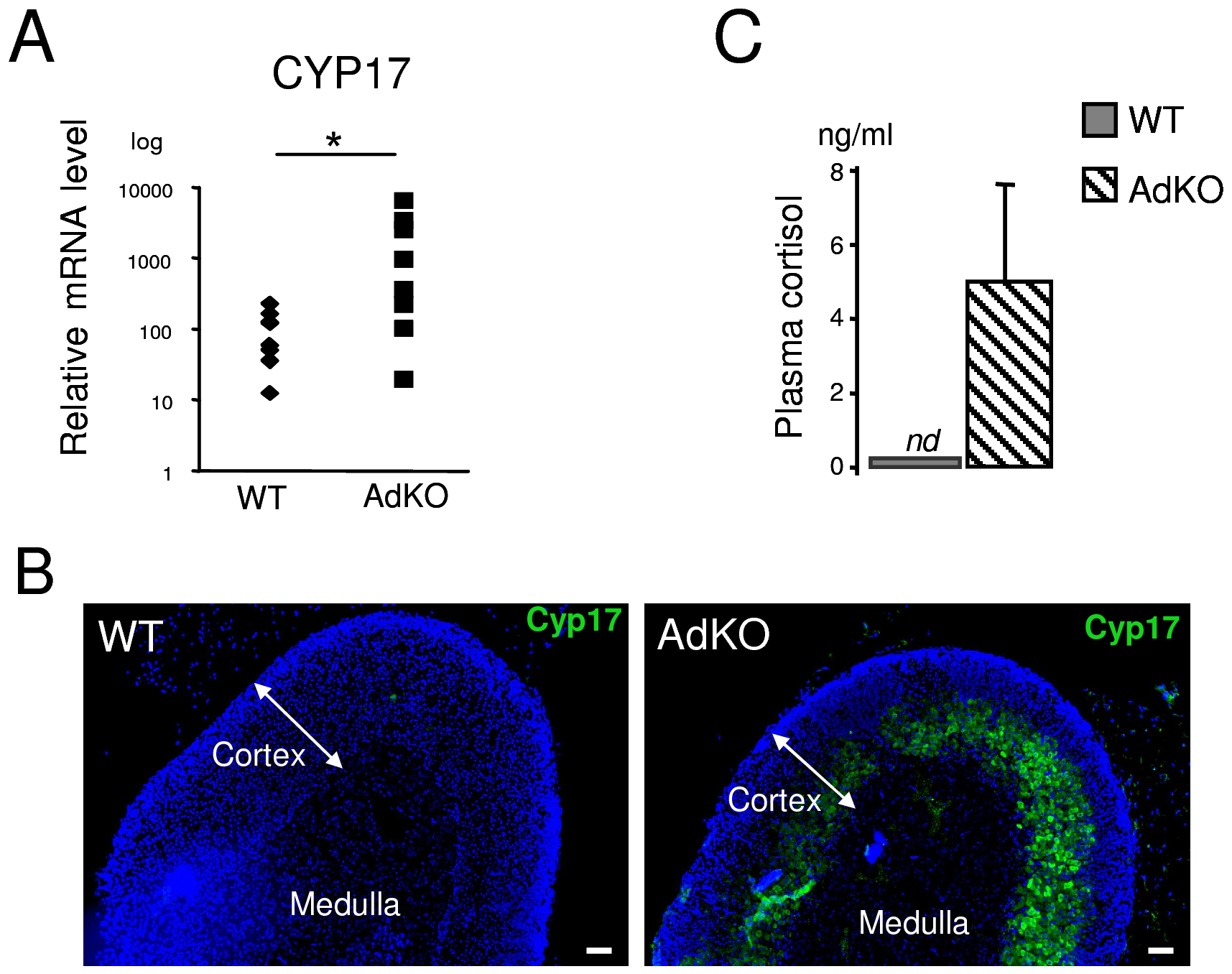 AdKO adrenals expressed Cyp17 and produced cortisol.