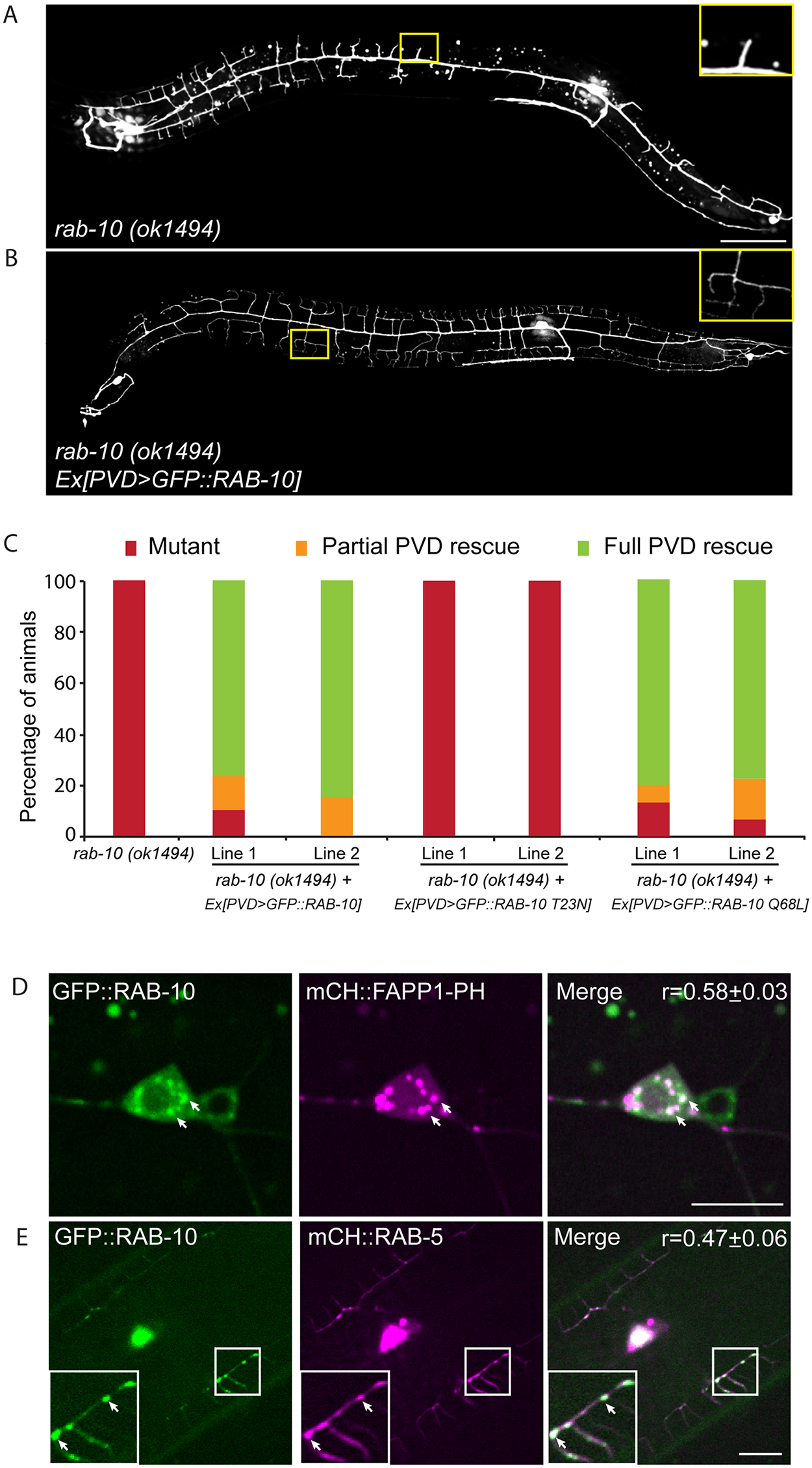 RAB-10 functions cell-autonomously in the PVD neuron.