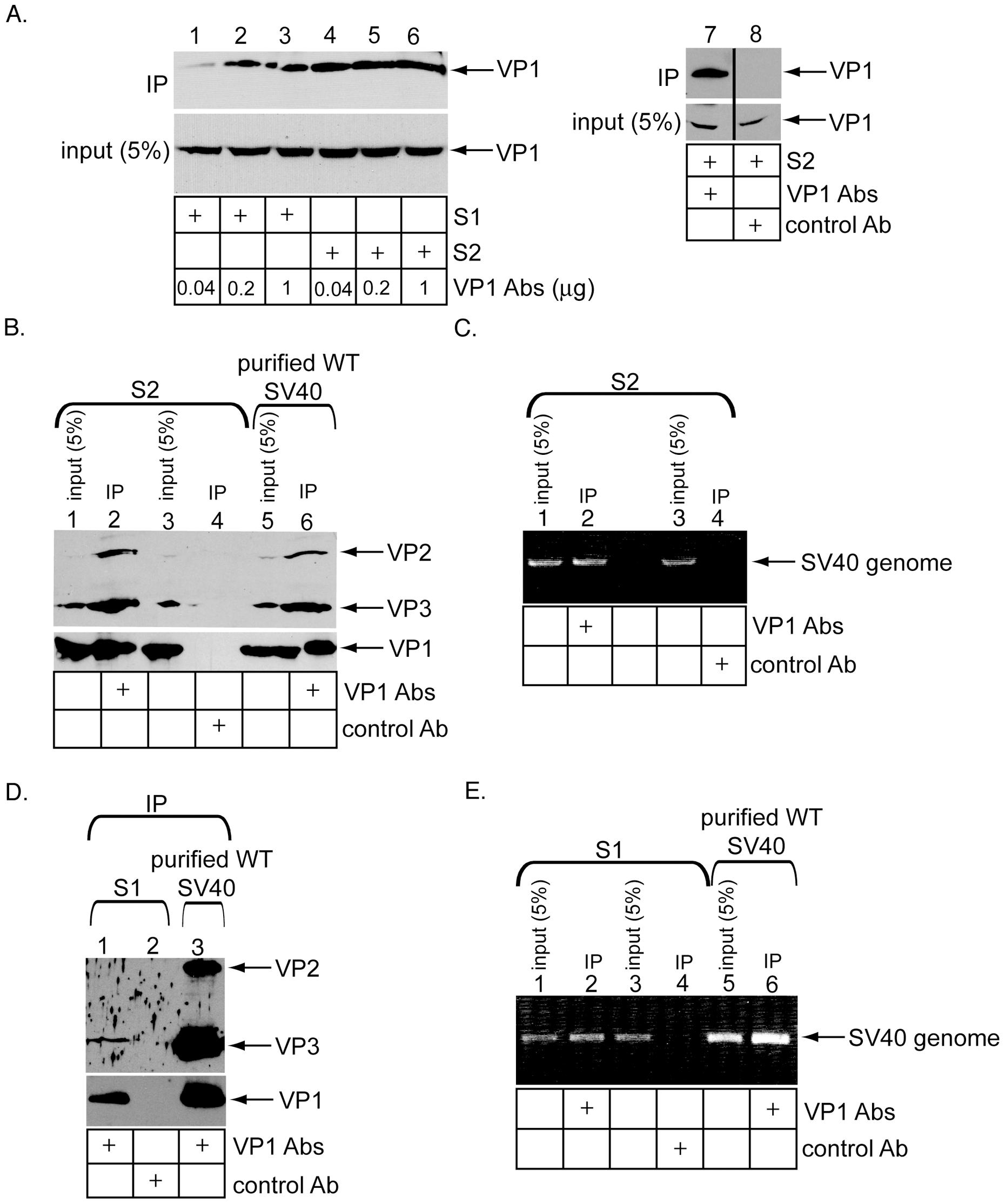Immunoprecipitation of ER- and cytosol-localized SV40 using conformation-specific antibodies.