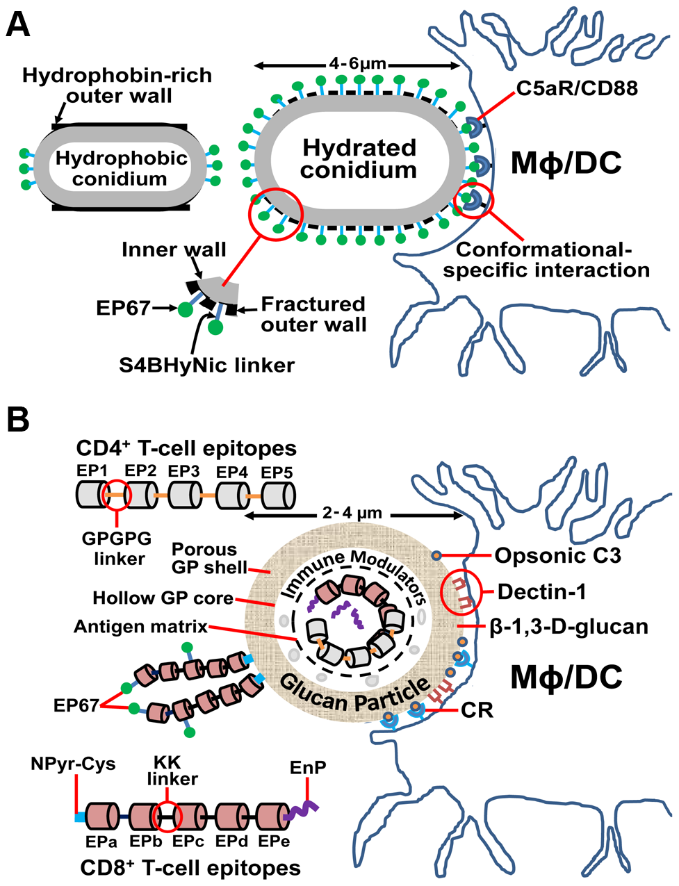 Novel adjuvant and vaccine delivery system for enhancement of protective immunity to coccidioidomycosis. (A) An agonist of human complement fragment C5a (EP67) bound to live cells of an attenuated vaccine strain of <i>Coccidioides</i> enhances T-cell immunity while downregulating inflammatory pathology.