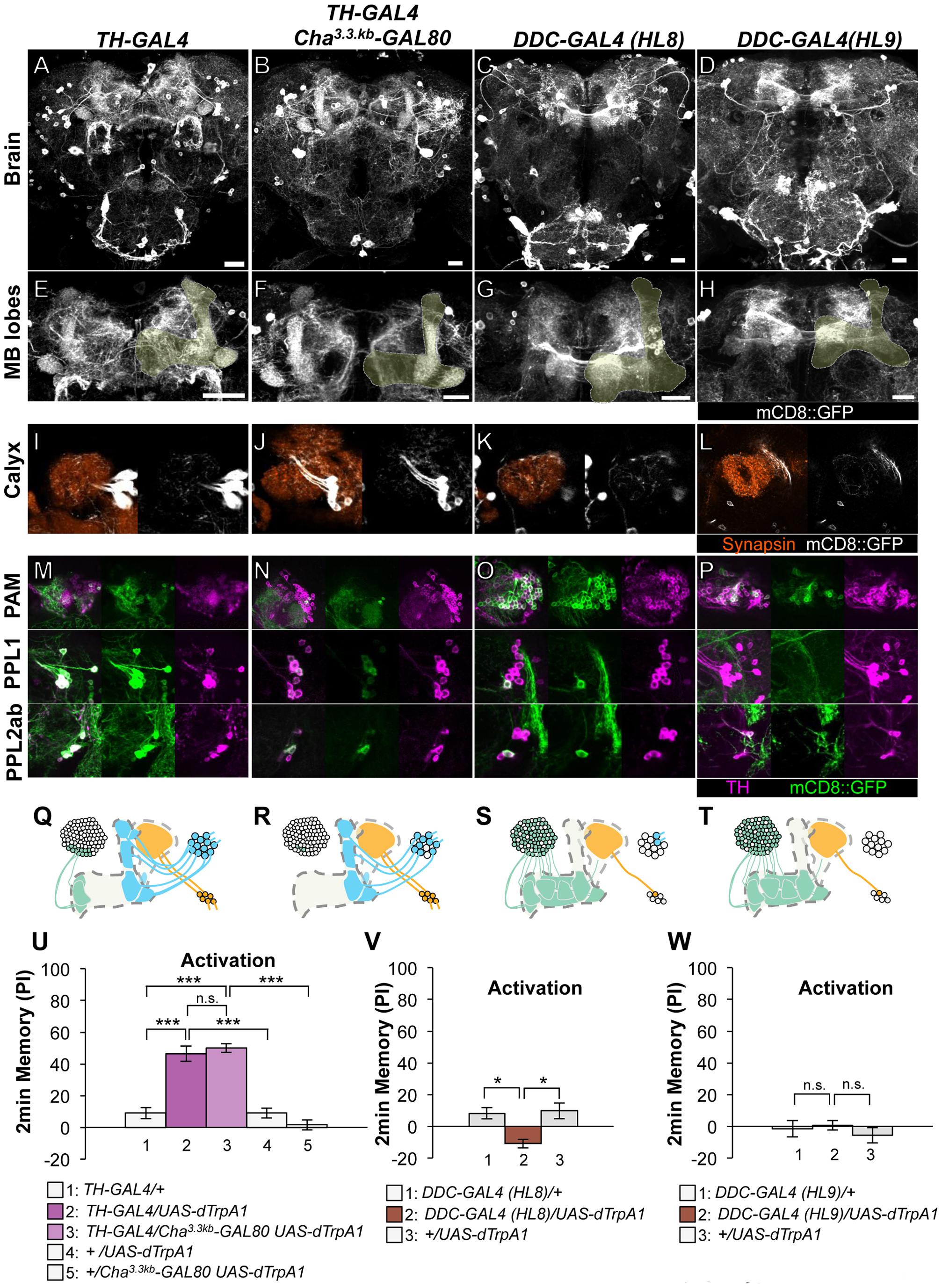 Memories induced by thermo-activation with drivers that label many types of dopamine neurons.