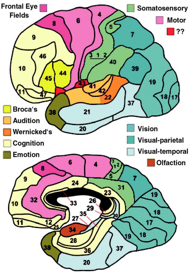 Brodmanova cytoarchitektonická mapa mozkové kůry