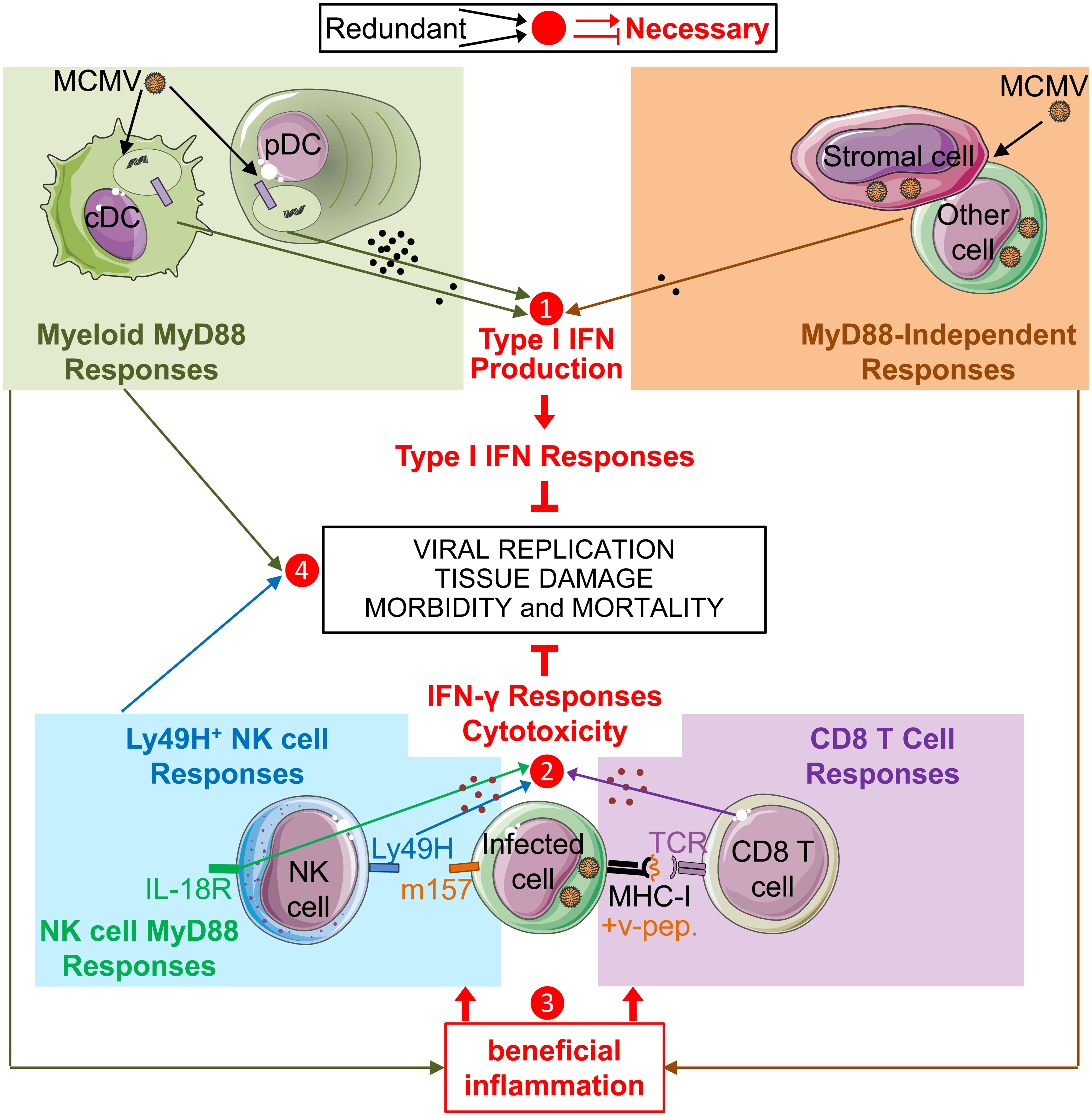 Model of redundancies and complementarities between molecular sensors and cell types for mounting the IFN-I, IFN-γ and cytotoxic cellular immune responses which are necessary for control of MCMV infection.