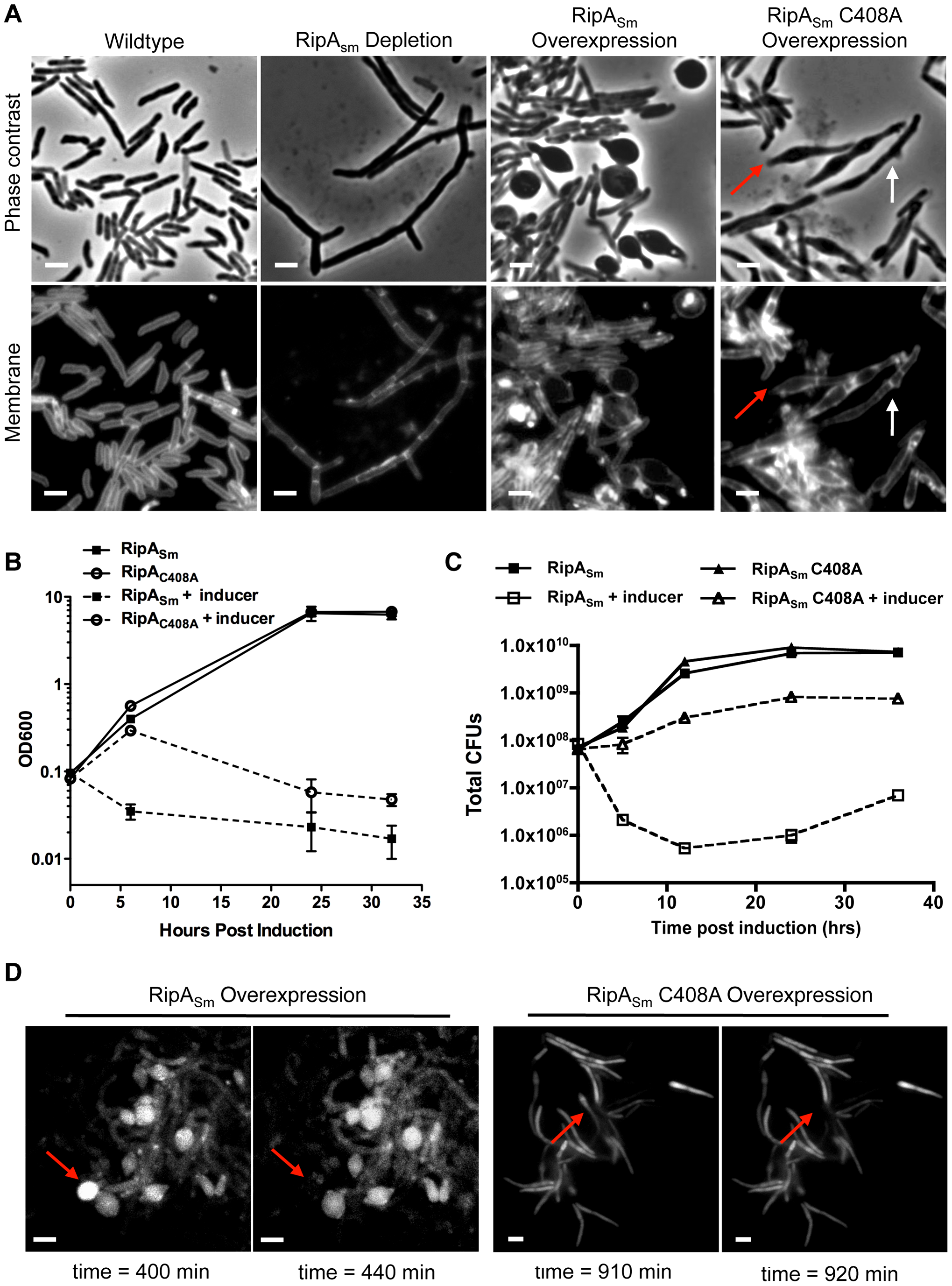 Dysregulation of RipA in <i>M. smegmatis</i> causes growth attenuation.