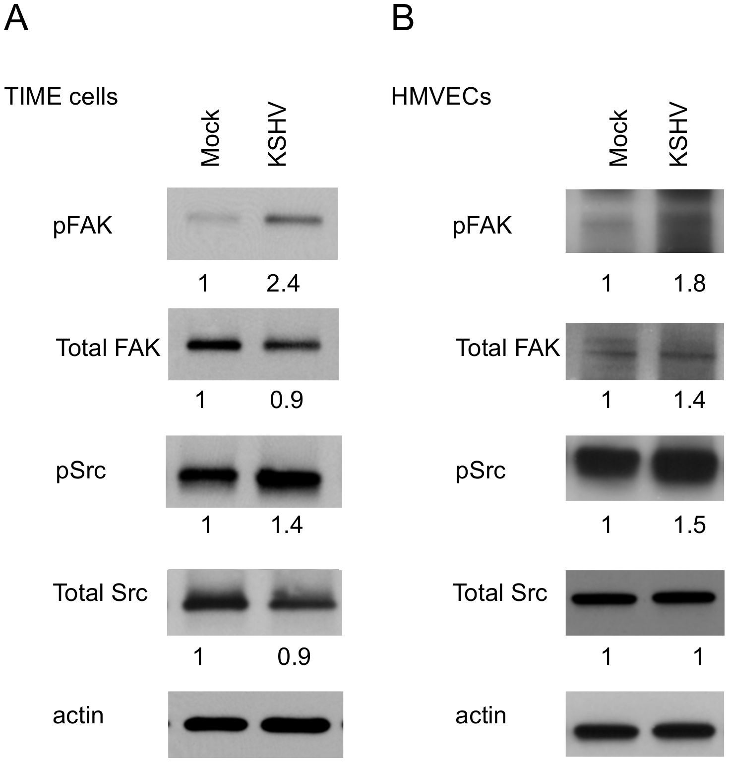 FAK and Src are activated during KSHV latency in endothelial cells.