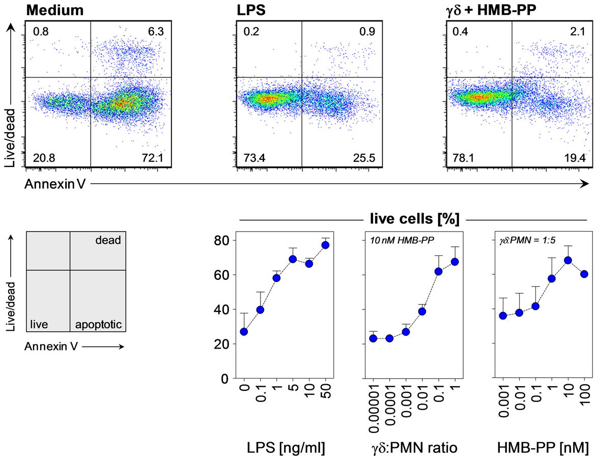 HMB-PP stimulated Vγ9/Vδ2 T cells induce neutrophil survival.