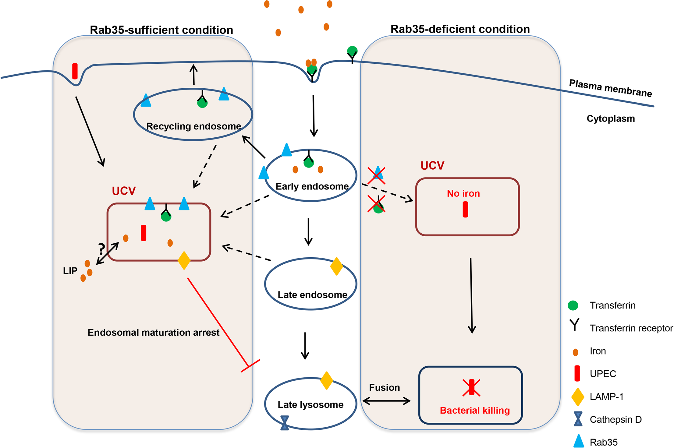 Schematic representation of how the presence or absence of Rab35 affects the fate of UPEC survival within UCV.
