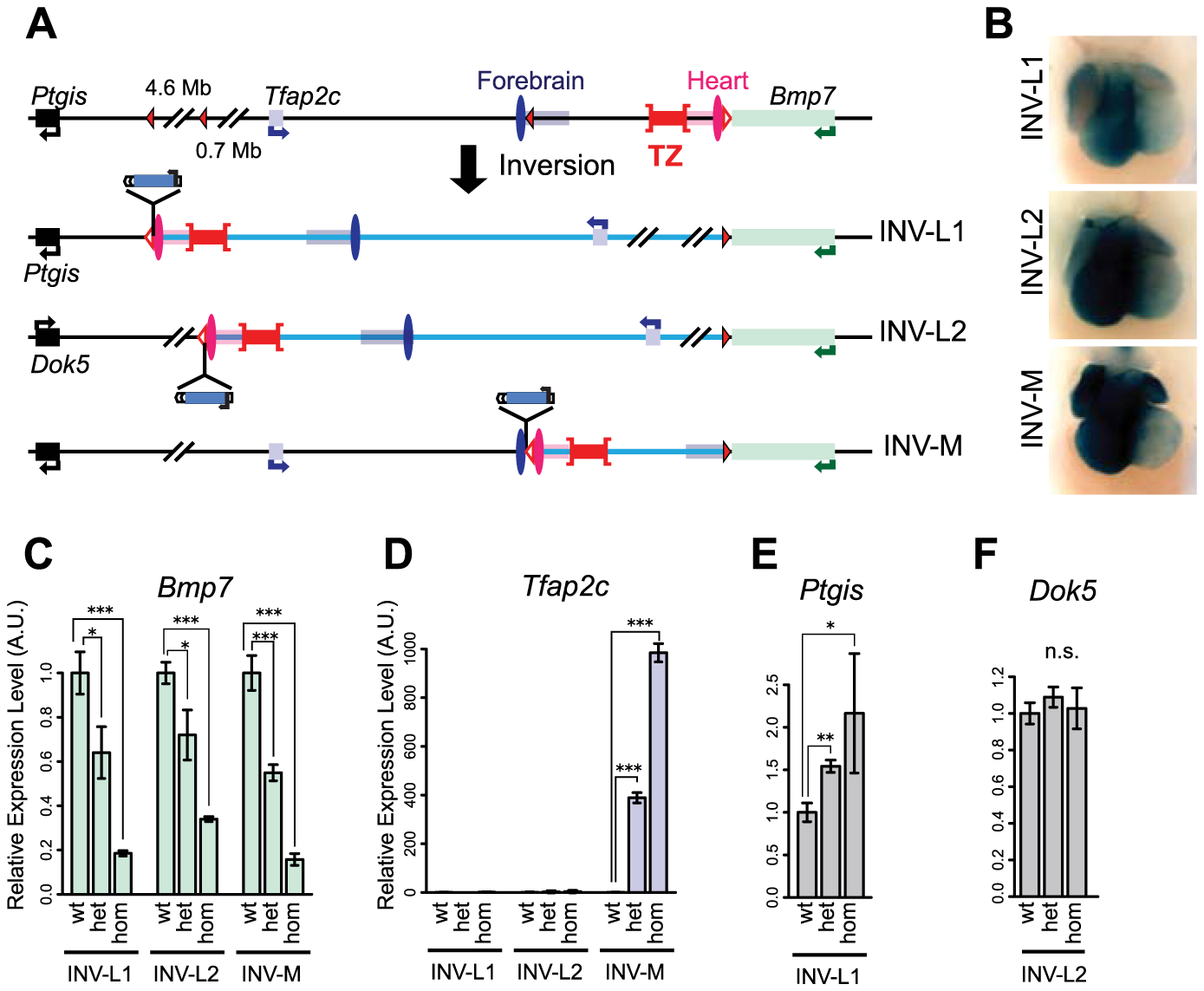 Inversion alleles reallocate the target of the heart enhancer.