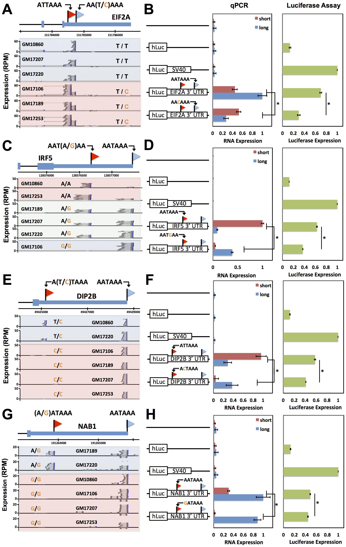 Natural genetic variation in alternative polyadenylation.