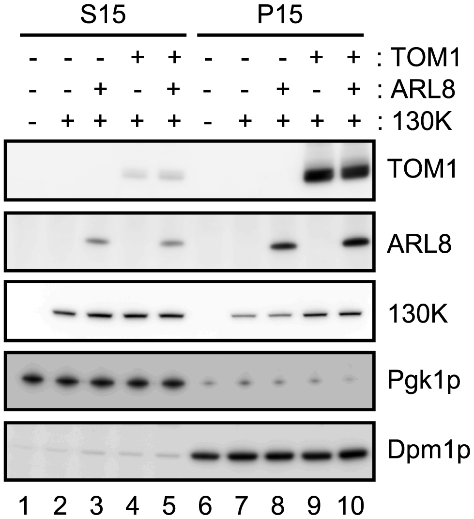 Effects of TOM1 and ARL8 coexpression on the membrane-association of ToMV 130K protein.