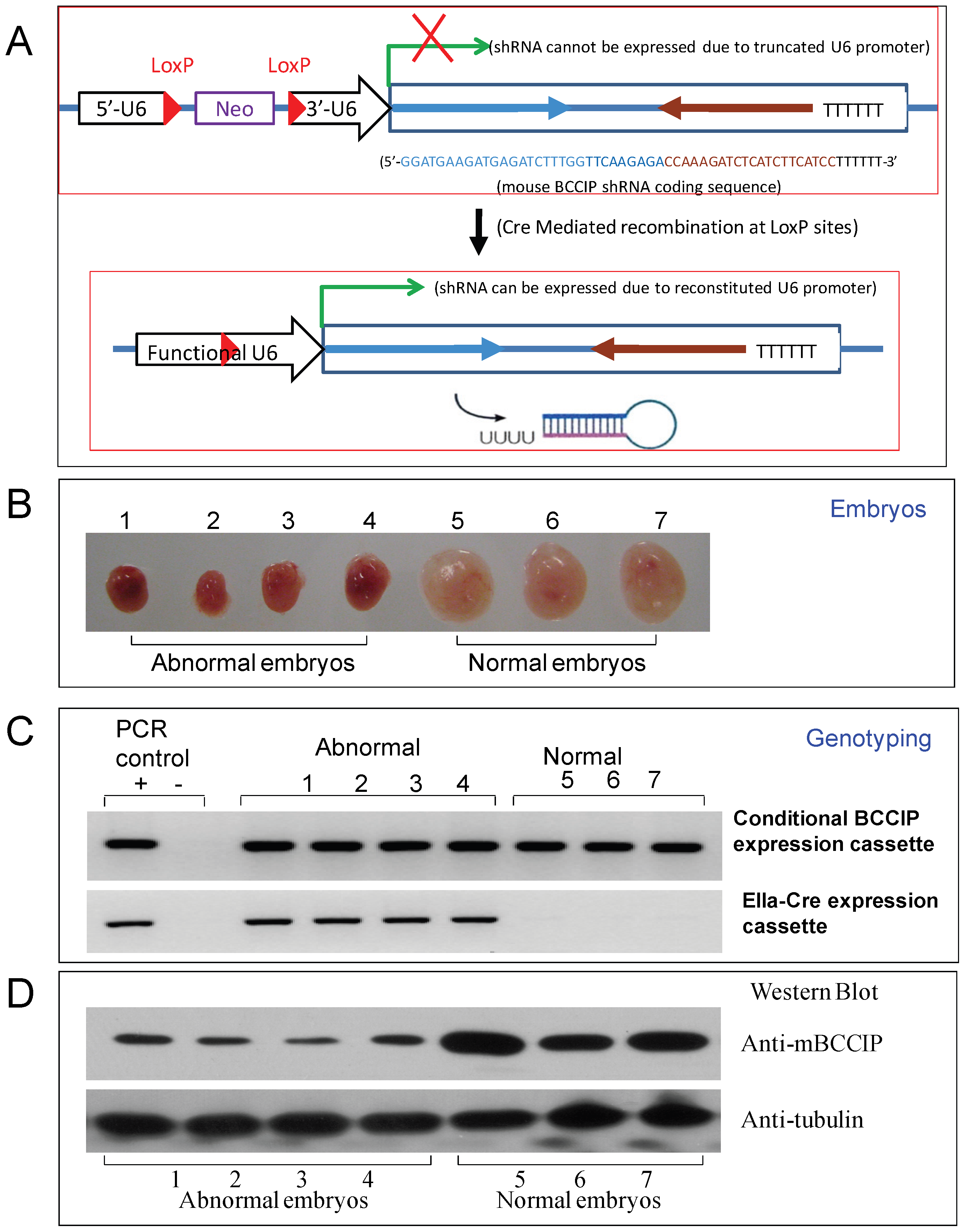 Construction of a LoxP-Cre mediated conditional BCCIP knockdown mouse line.