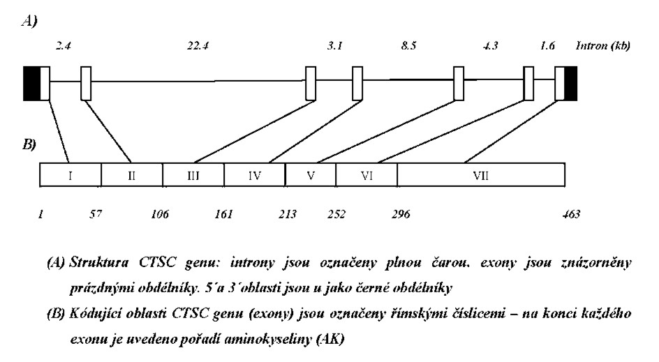 Struktura CTSC genu.