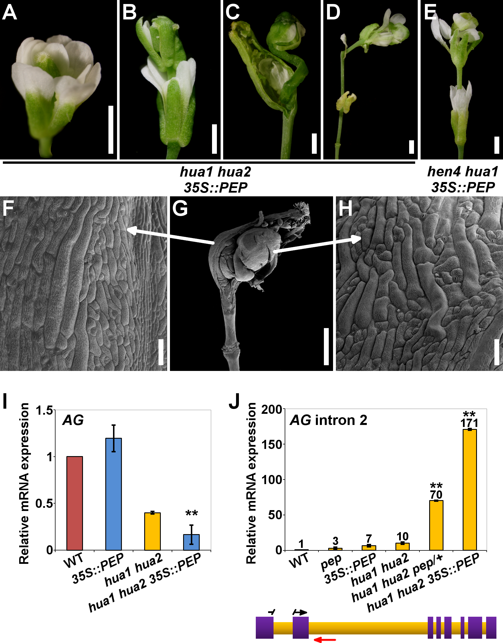 <i>PEP</i> overexpression impairs flower morphogenesis and <i>AG</i> pre-mRNA processing.
