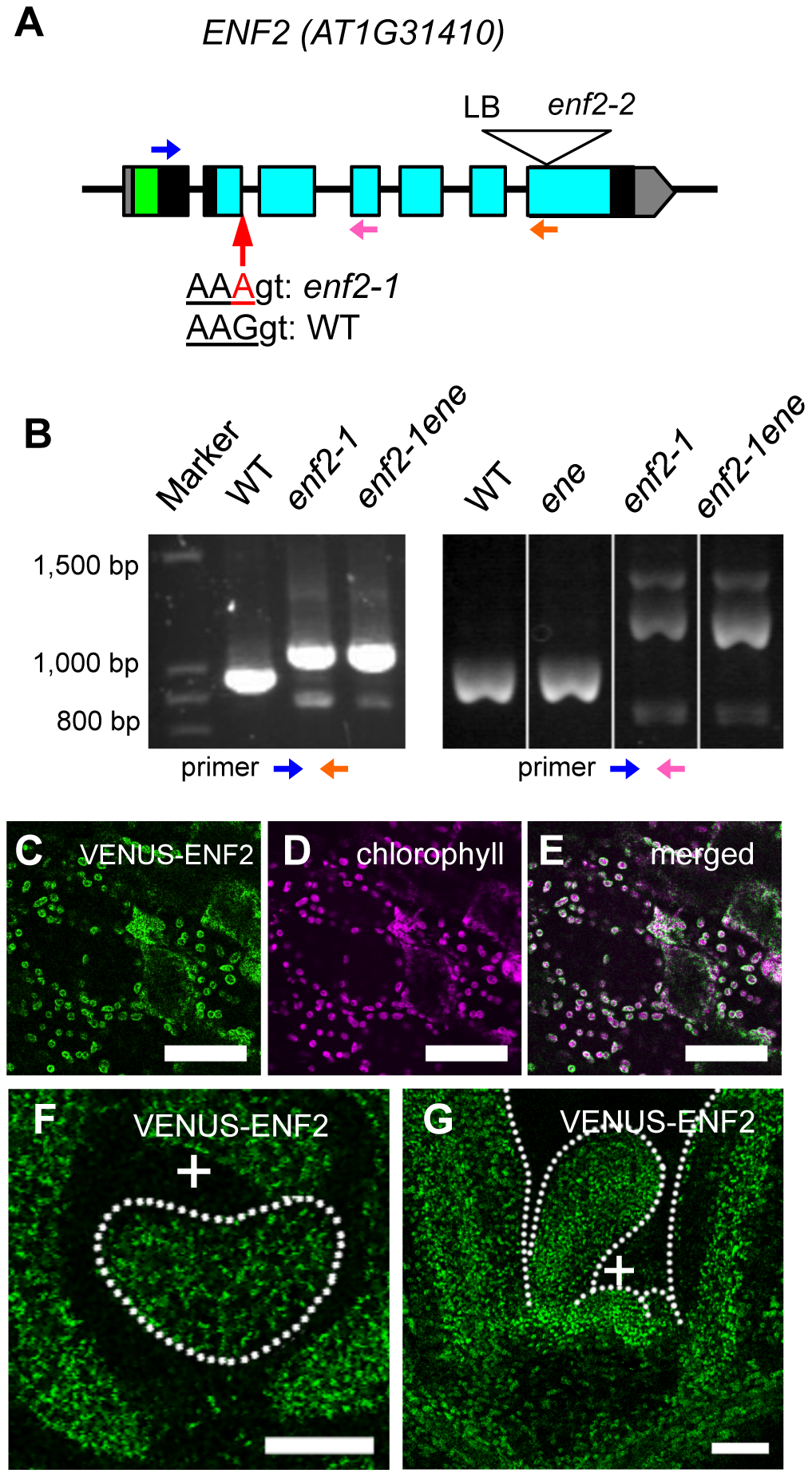 The <i>ENF2</i> gene encodes a plastid-targeted protein expressed throughout the shoot apex.