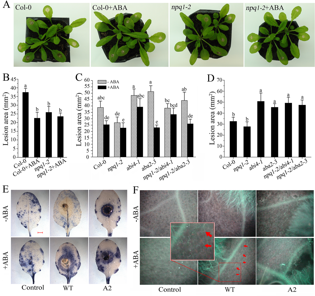 Efficiency of ABA in inducing plant resistance against <i>Sclerotinia</i>.