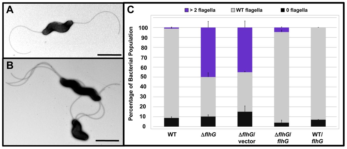 FlhG controls polar flagellar numbers in <i>C. jejuni</i>.