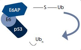 Degradačný komplex vytvorený E6 onkoproteínom [11].