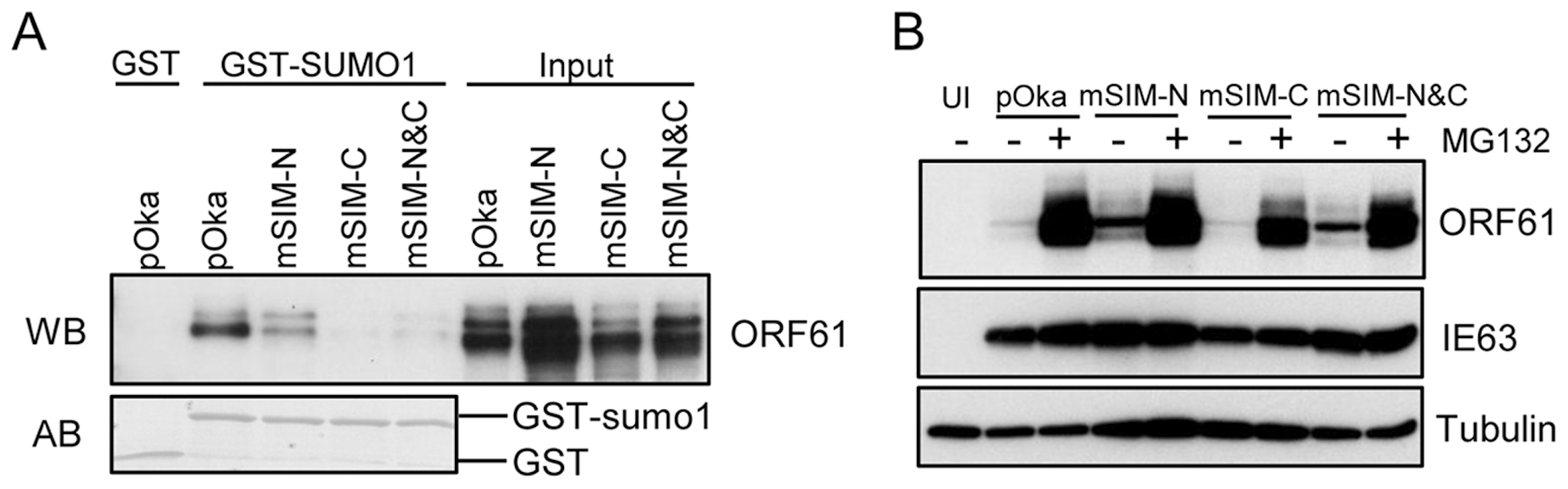 ORF61 SIMs are essential for the SUMO-binding capacity of ORF61 expressed in VZV-infected cells.