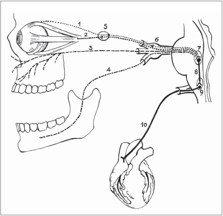 Schematické znázornenie dráhy trigemino- kardiálneho reflexu.  1 – nn. ciliares longi, 2 – nn. ciliares breves (n. oculomotorius NIII), 3 – nervus maxillaris (NV/ II) a jeho vetvy, 4 – nervus mandibularis (NV/ III) a jeho vetvy, 5 – ganglion ciliare, 6 – ganglion Gasseri, 7 – radix sensoria a nucleus sensorius NV, 8 – krátke internun ciálne vlákna formatio reticularis mozgového kmeňa, 9 – nucleus dorsalis nervi vagi (NX), 10 – kardio- depresorické vágové vlákna (nervi deccelerantes nervi vagi.