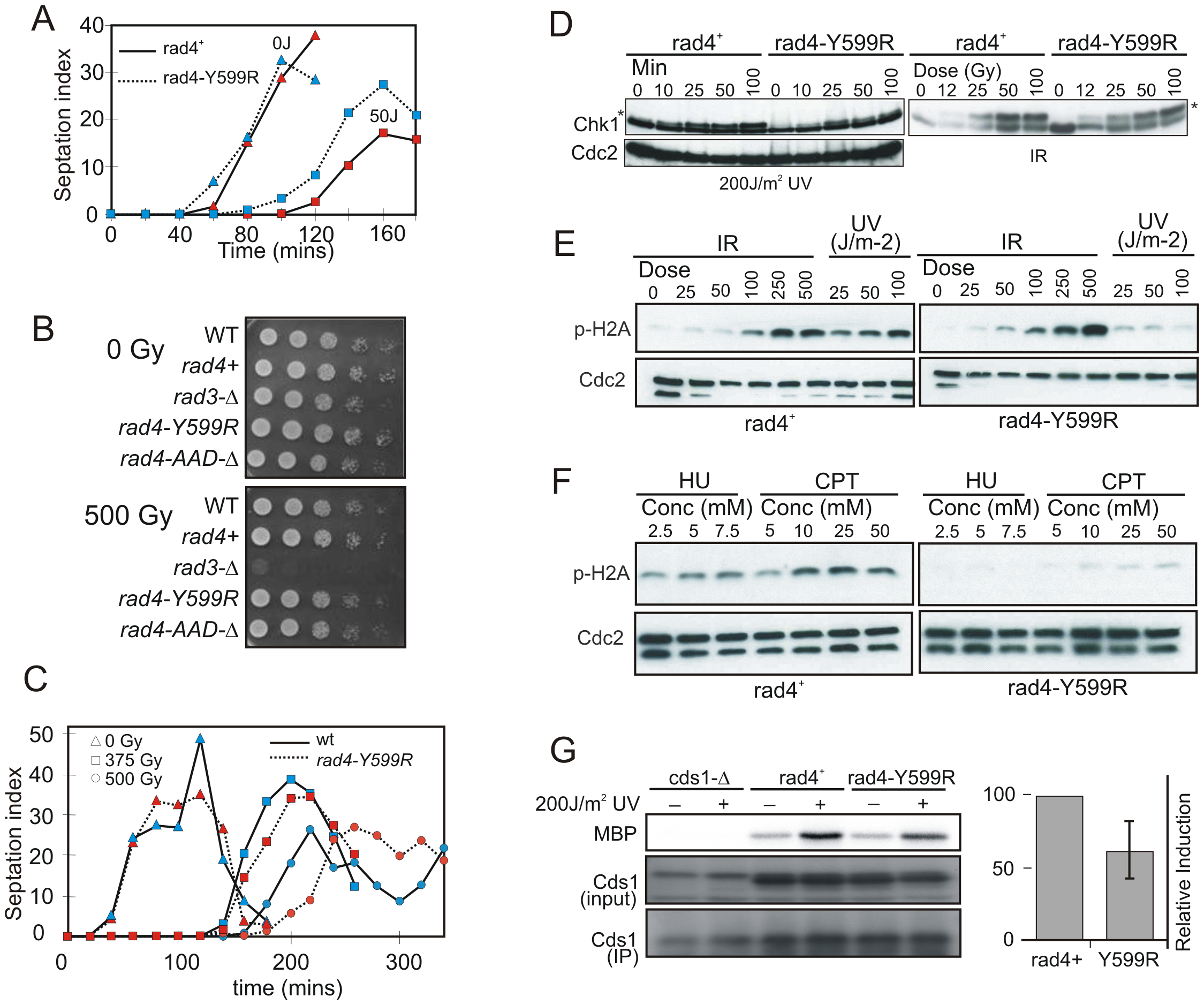 Checkpoint activation in response to genotoxic stress.