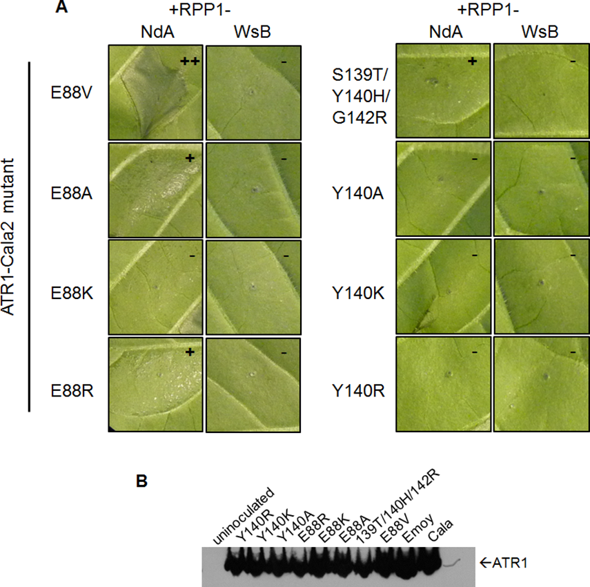 Charge-substituting mutations on ATR1 recognition surfaces variably alter allele-specific HR.