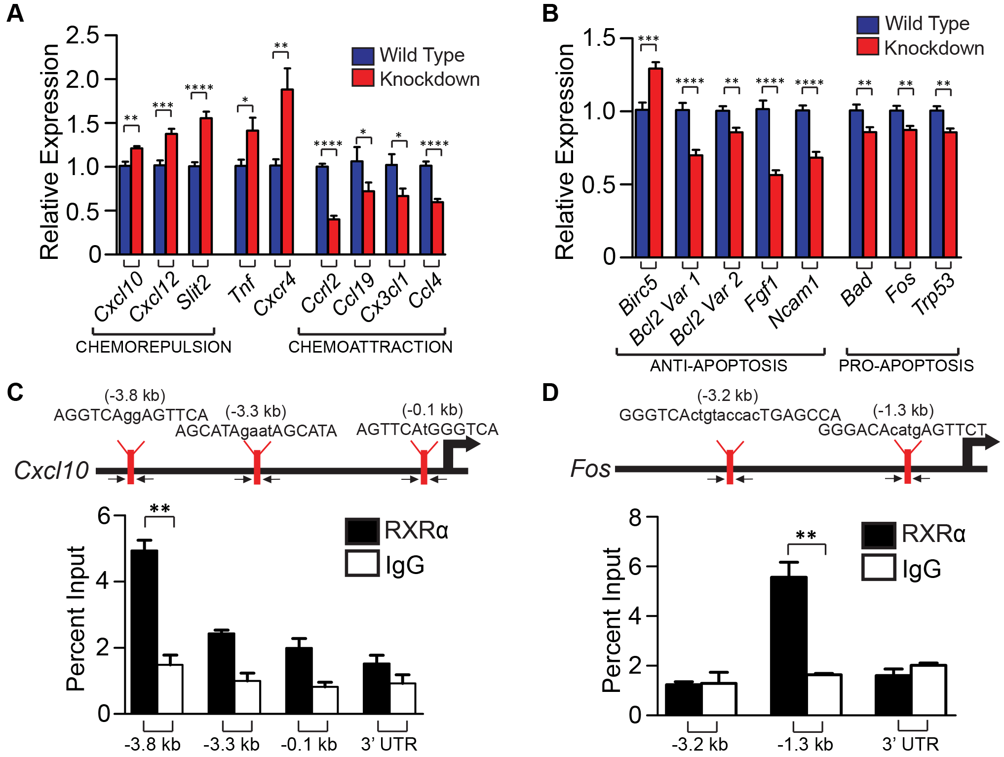 Ablation of RXR α and β in melanocytes results in altered expression of several chemokines post-UVR, as well as pro- and anti- apoptotic genes, some of which may be direct binding targets of RXRα.