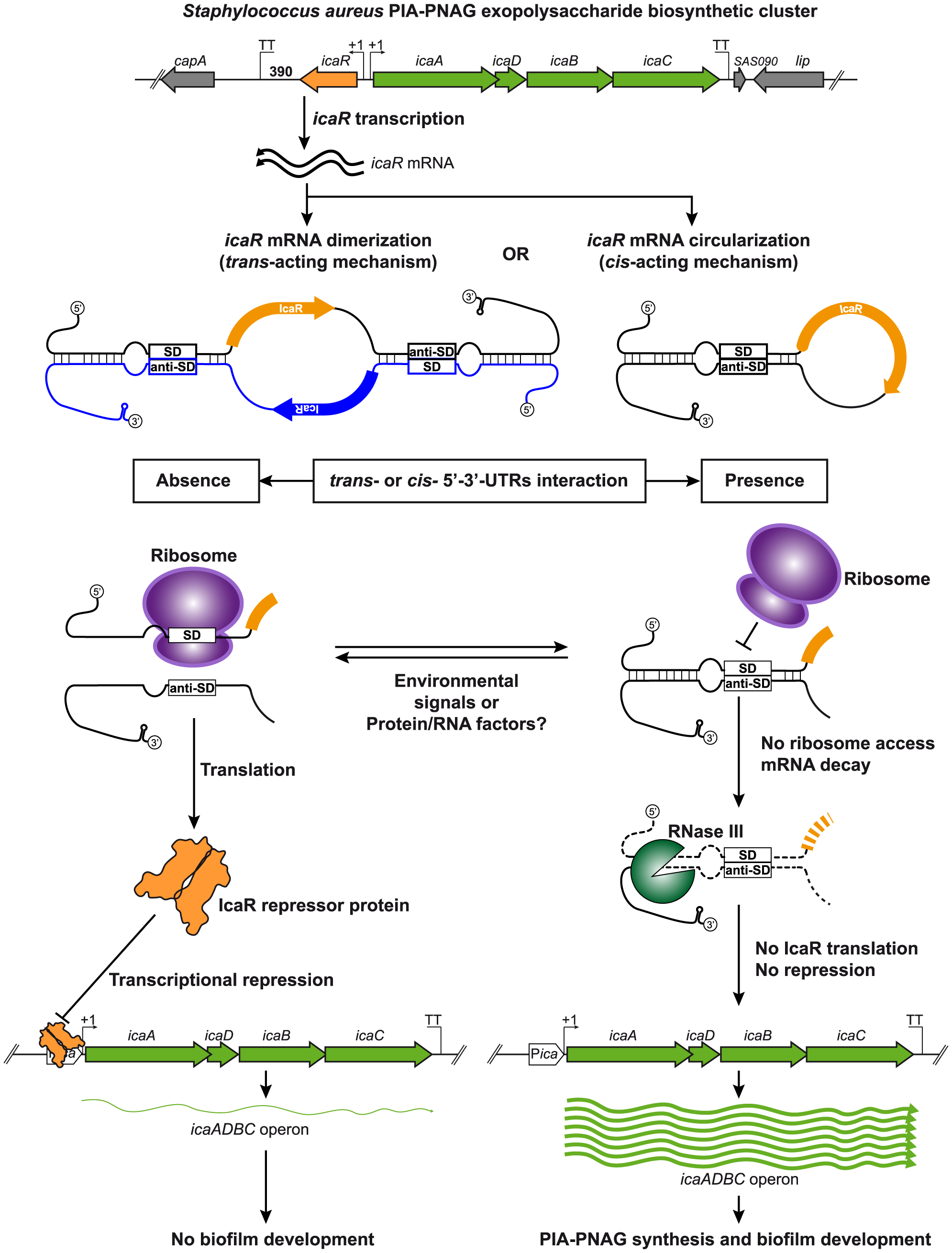 Modulation of IcaR expression by 5′-3′-UTRs interaction.