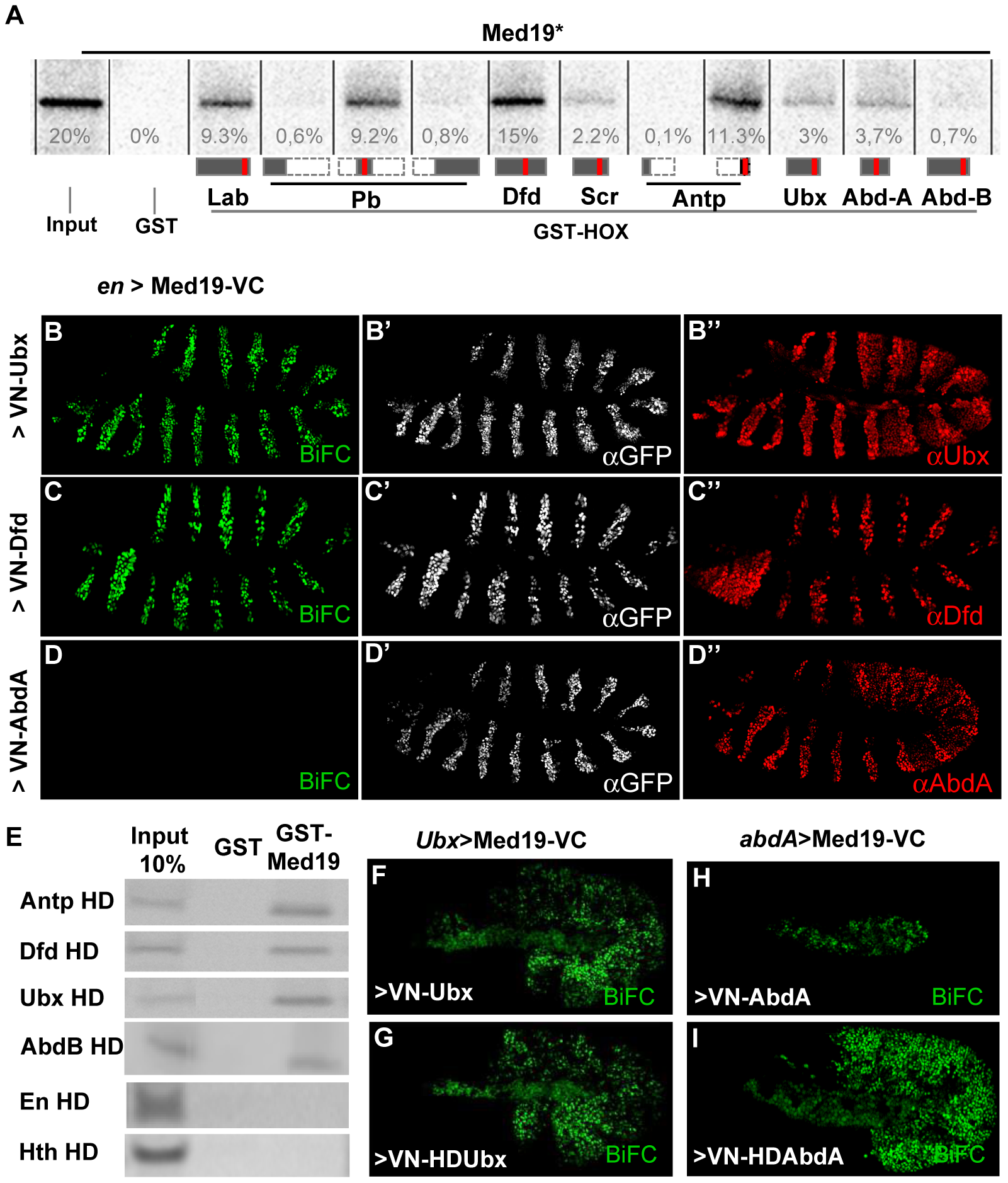 Hox proteins bind Med19 through their homeodomains <i>in vitro</i> and <i>in vivo</i>.