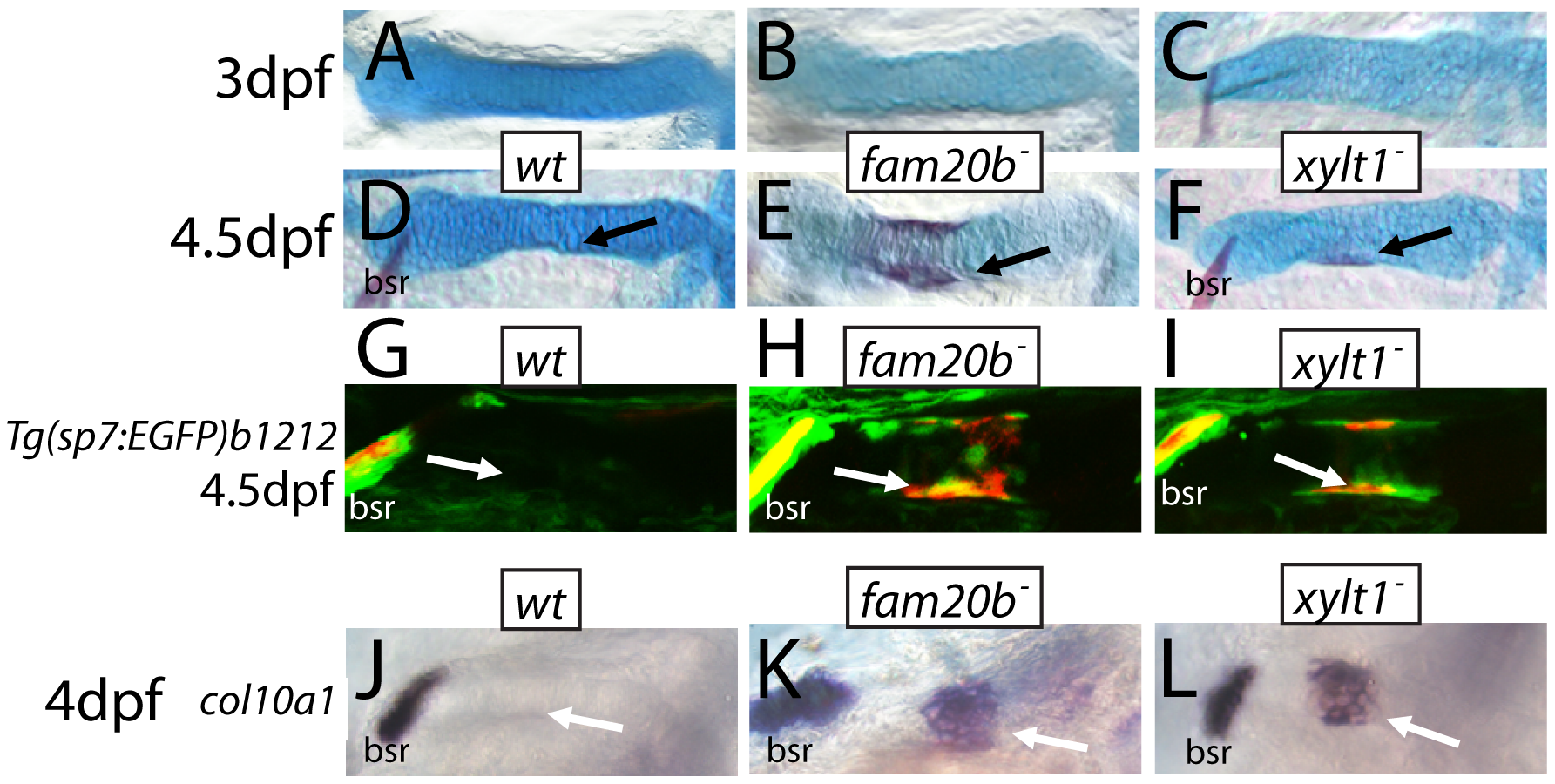 Precocious bone formation and osteoblast differentiation in perichondria of <i>fam20b</i> and <i>xylt1</i> mutants.