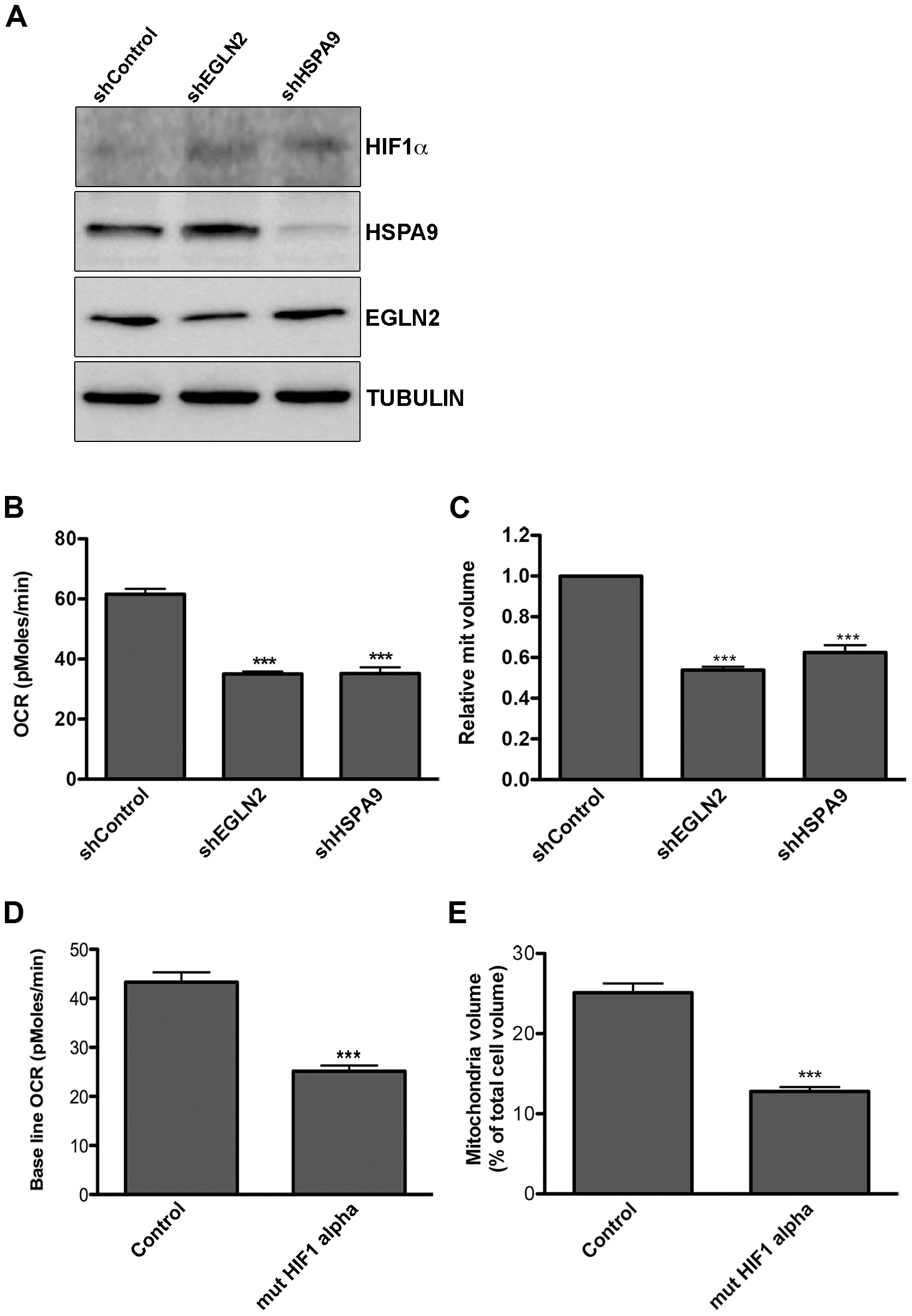 Down regulation of EGLN2 and HSPA9 phenocopies miRNA cluster expression.