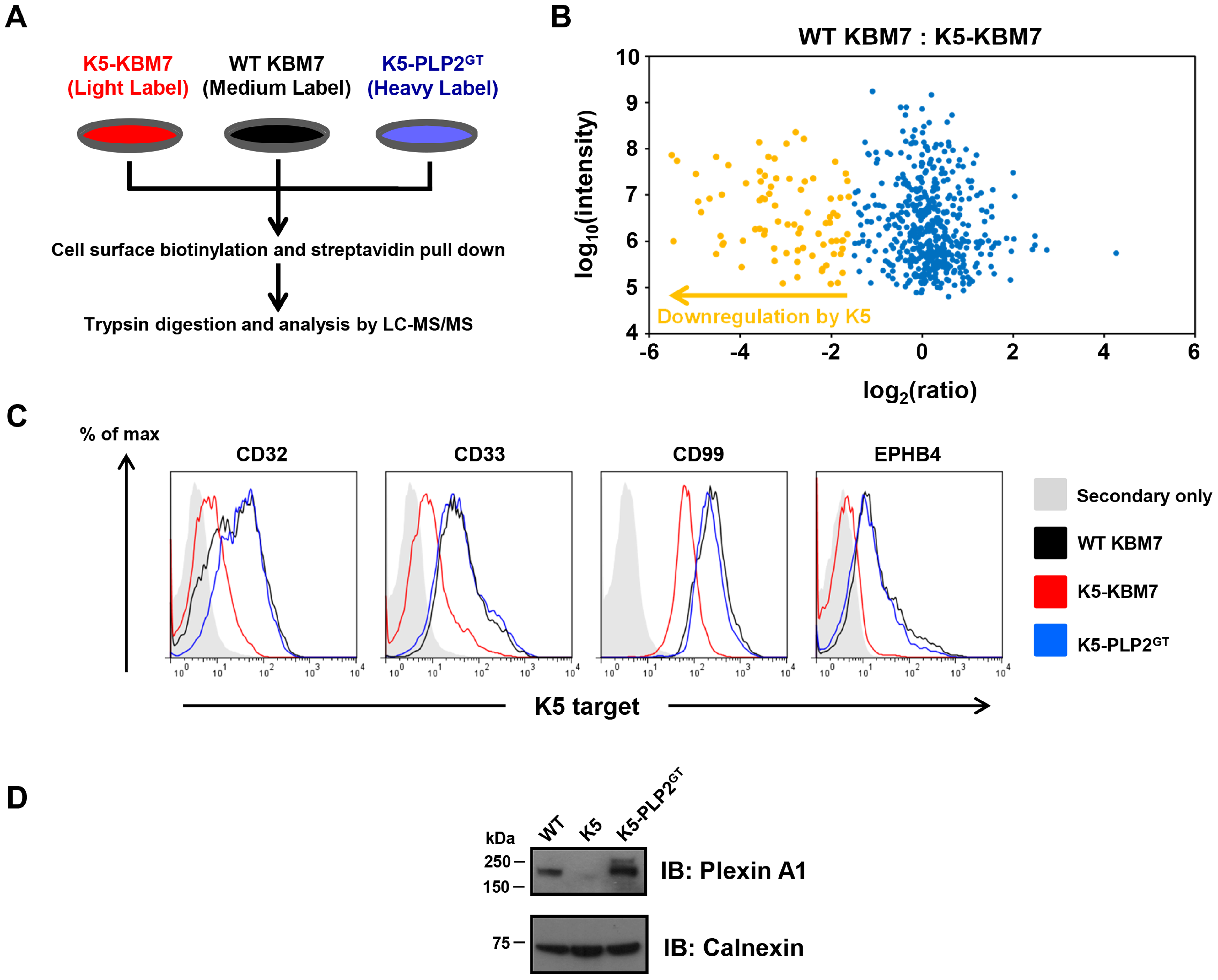 PLP2 is required for the downregulation of novel K5 targets.