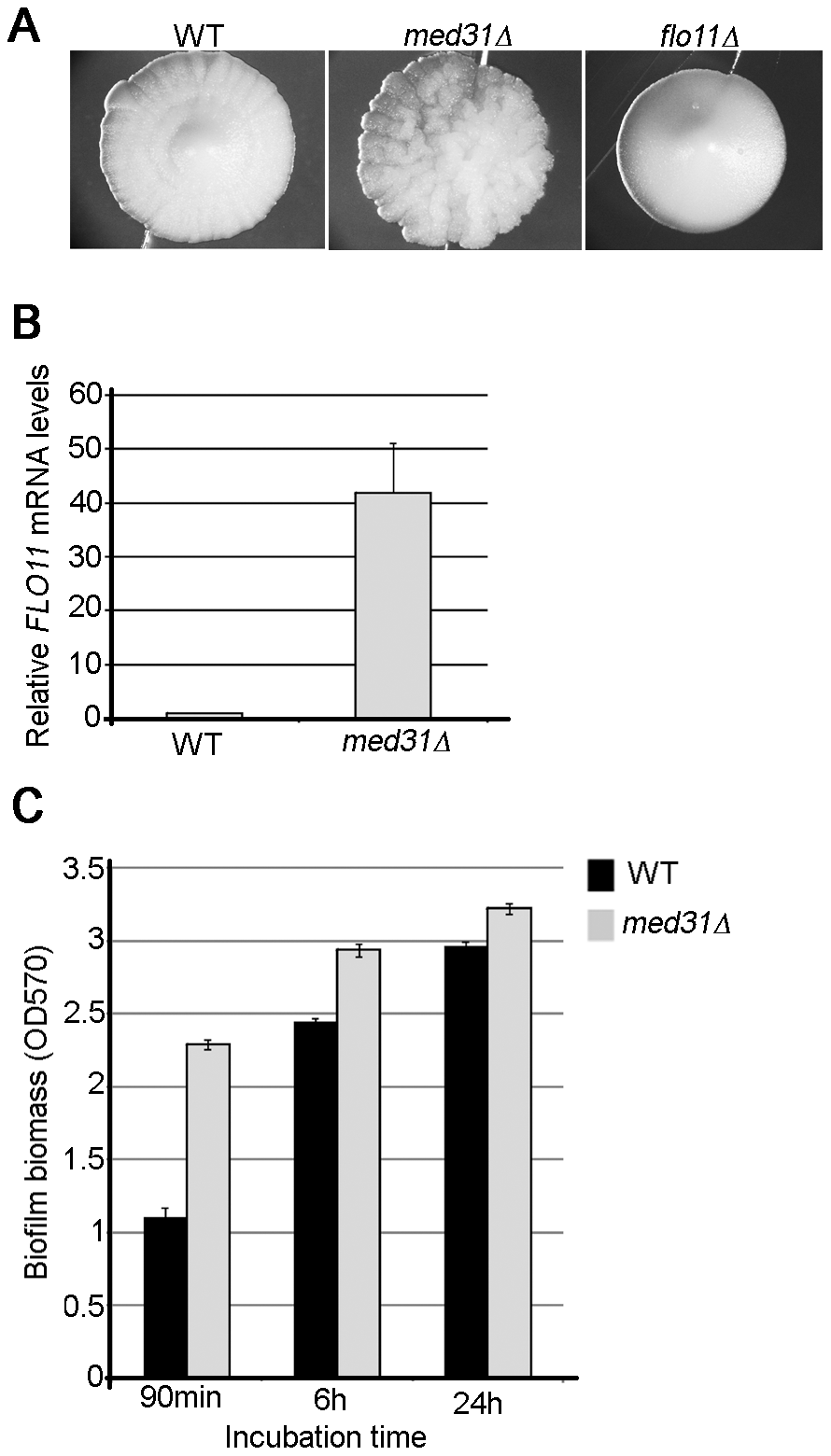 The roles of Med31 in adhesion are different between <i>S. cerevisiae</i> and <i>C. albicans</i>.