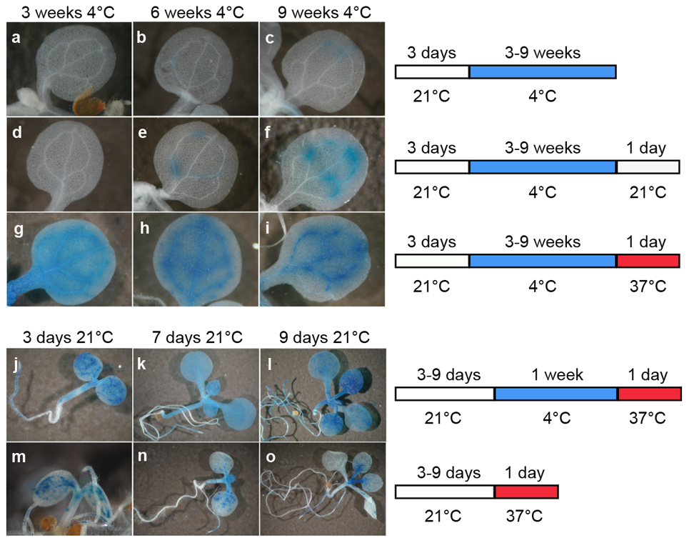 A temperature shift can release transcriptional silencing of a transgenic locus.