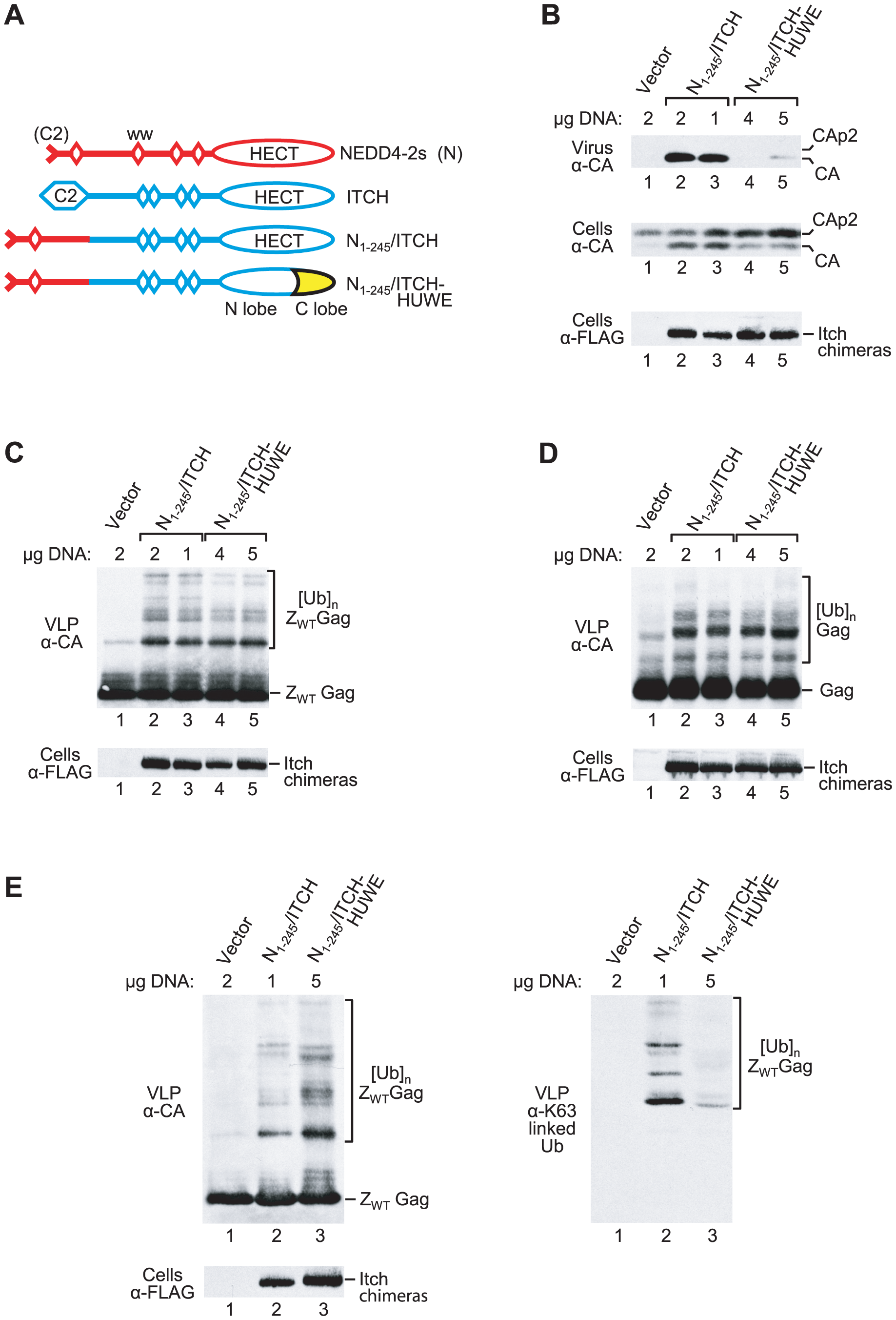 Rescue of HIV-1 release correlates with chain type specificity.
