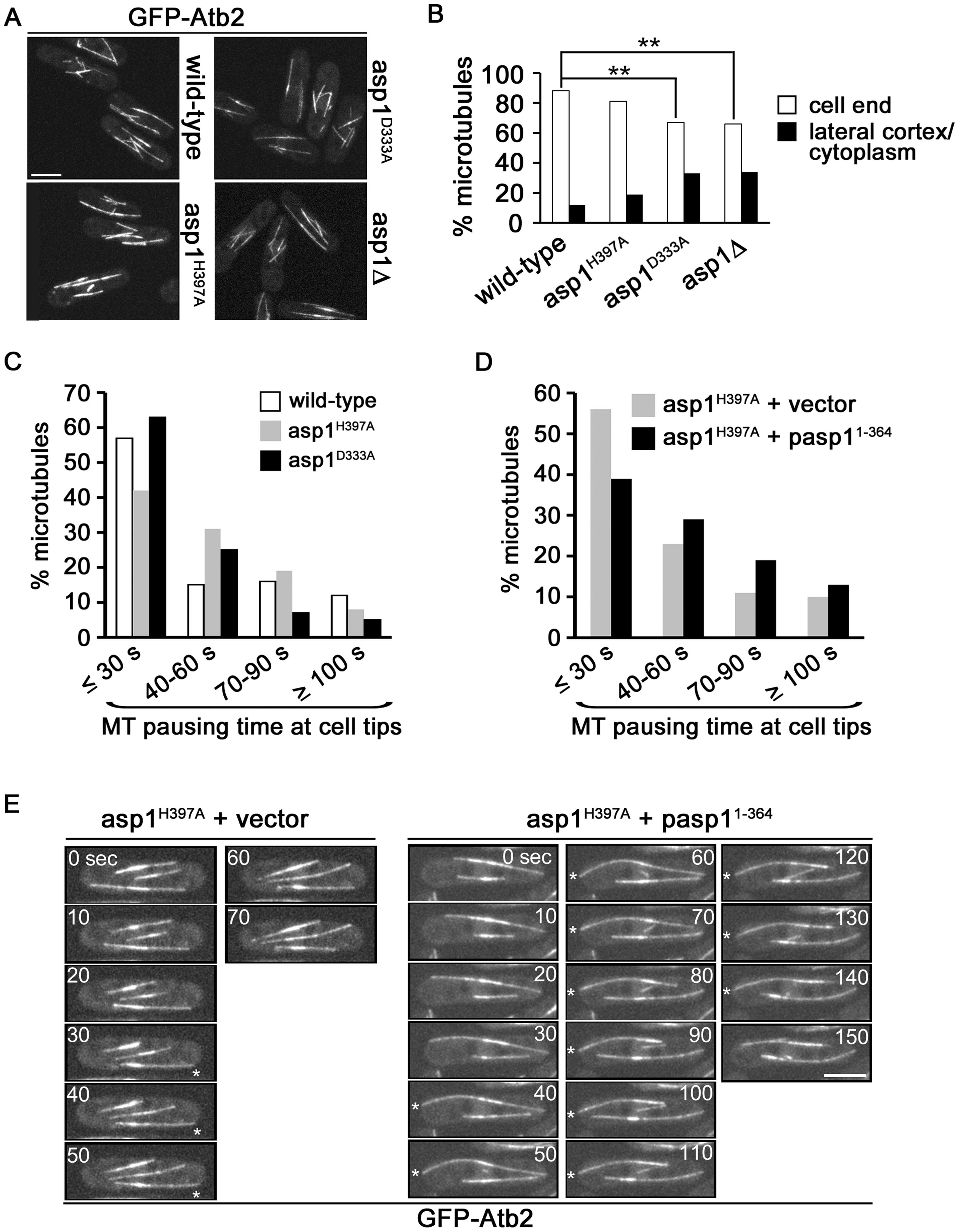 Asp1 kinase function affects MT organization.