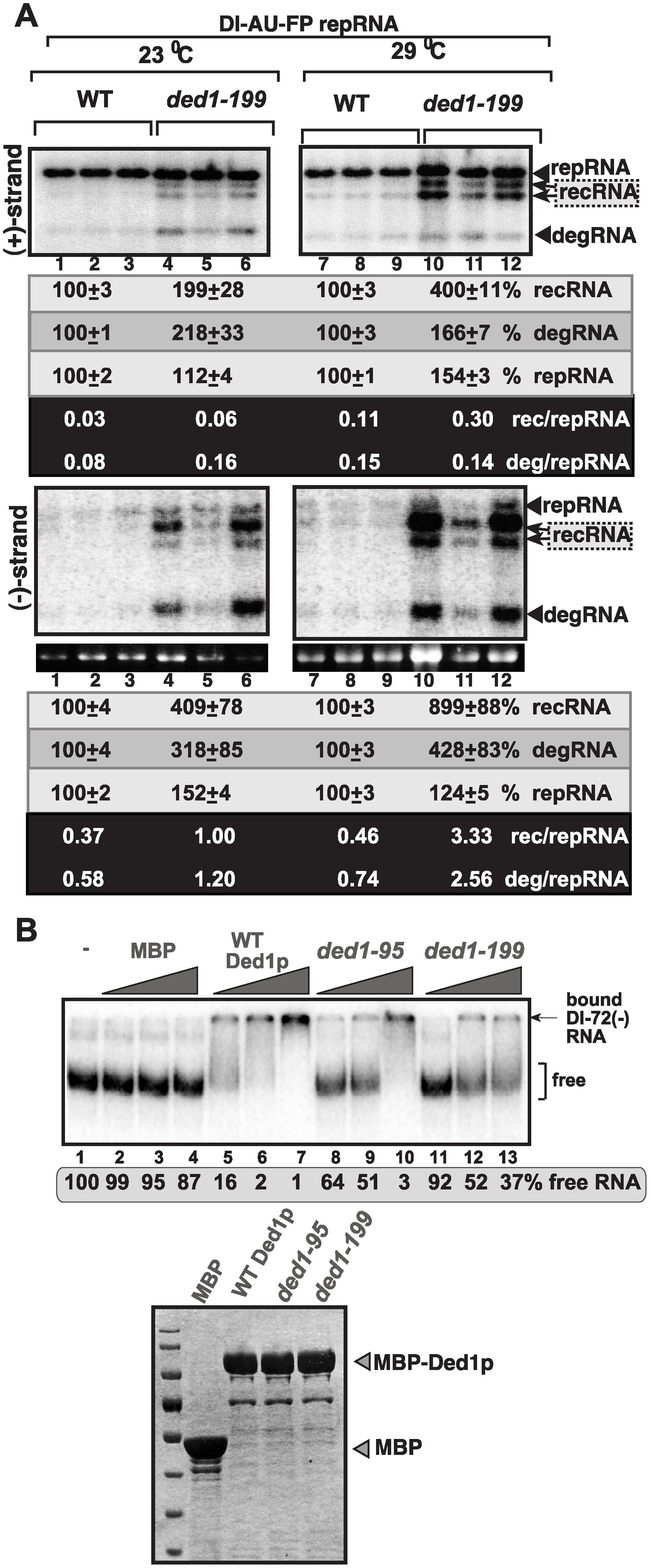 Increased level of TBSV minus-strand synthesis on recRNAs and degRNAs in yeast expressing ded1–199<sup>ts</sup> mutant.