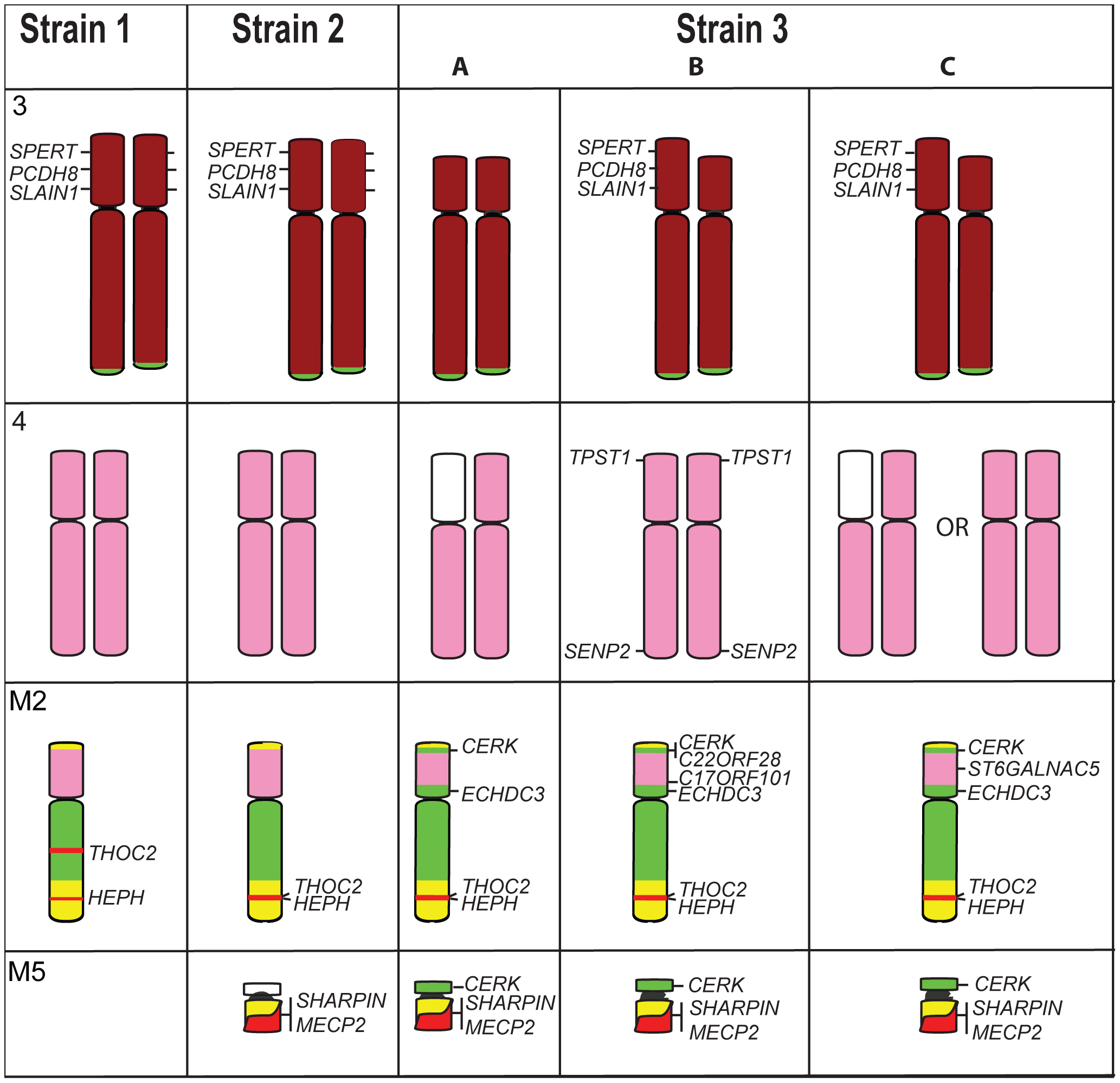 Differences detected by gene mapping among Strains 1, 2, and the three different Strain 3s.