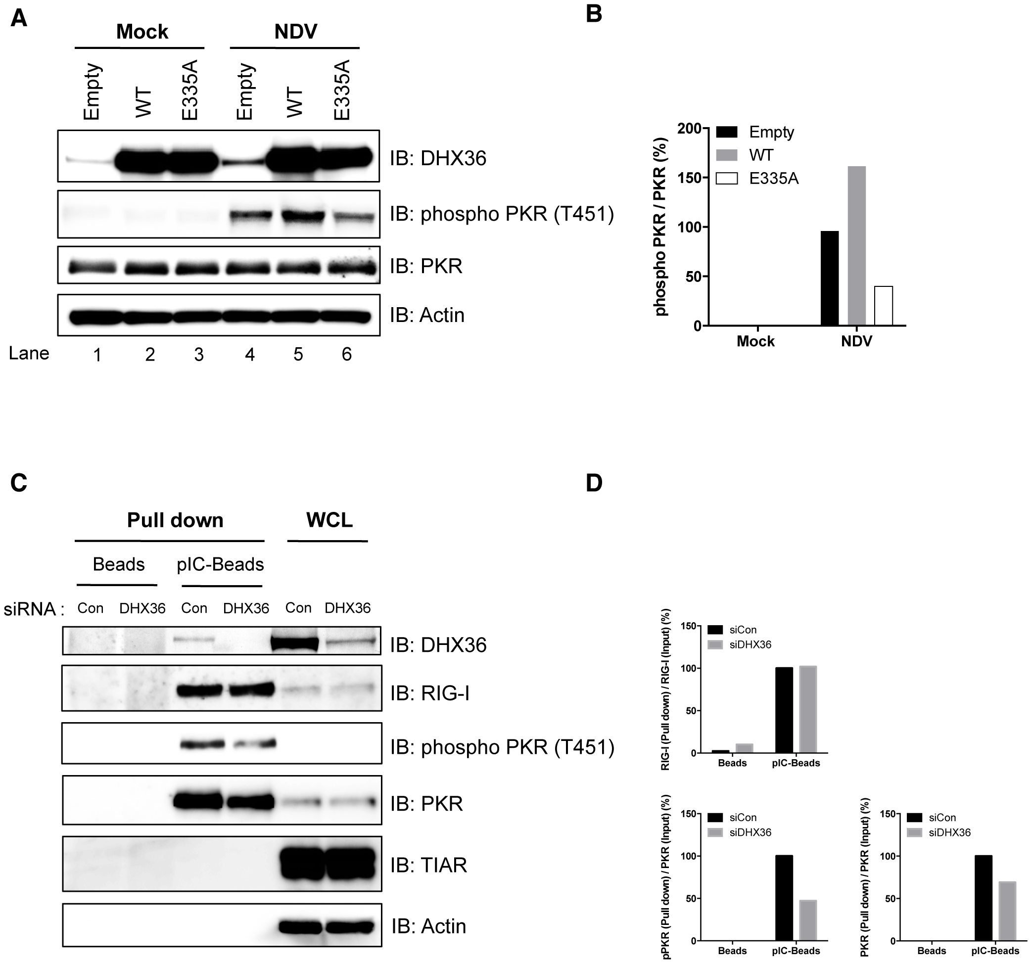 DHX36 facilitates PKR activation through its helicase/ATPase activity.