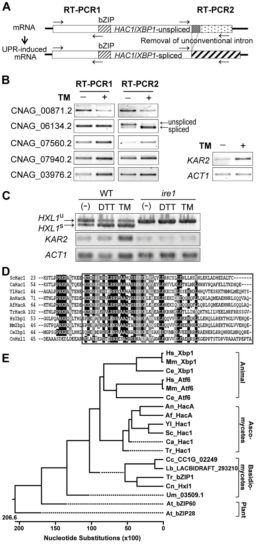 Identification of a novel Ire1-dependent bZIP transcription factor, Hxl1, in <i>C. neoformans</i>.
